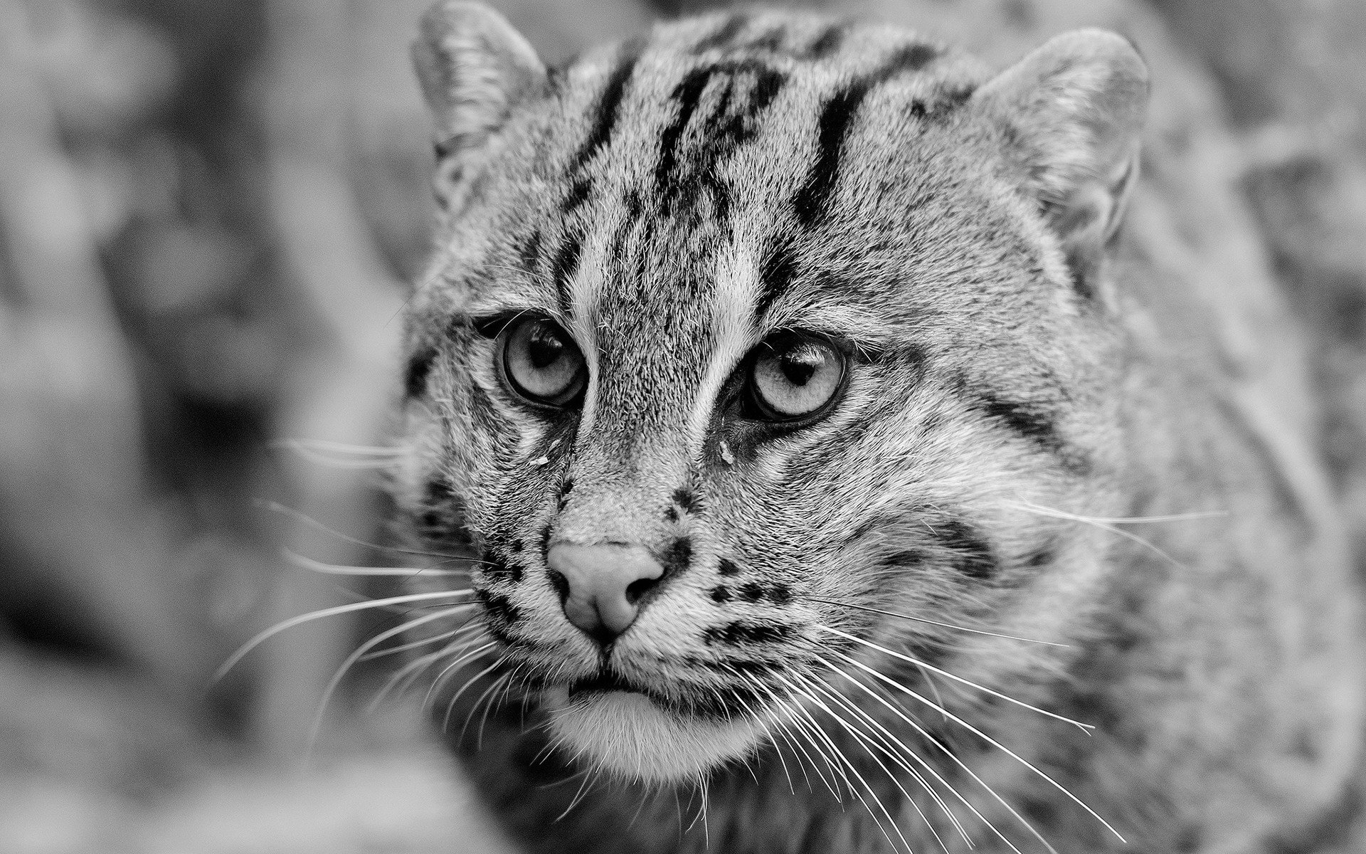 Best Wildcat wallpaper ID:467262 for High Resolution hd 1920x1200 computer
