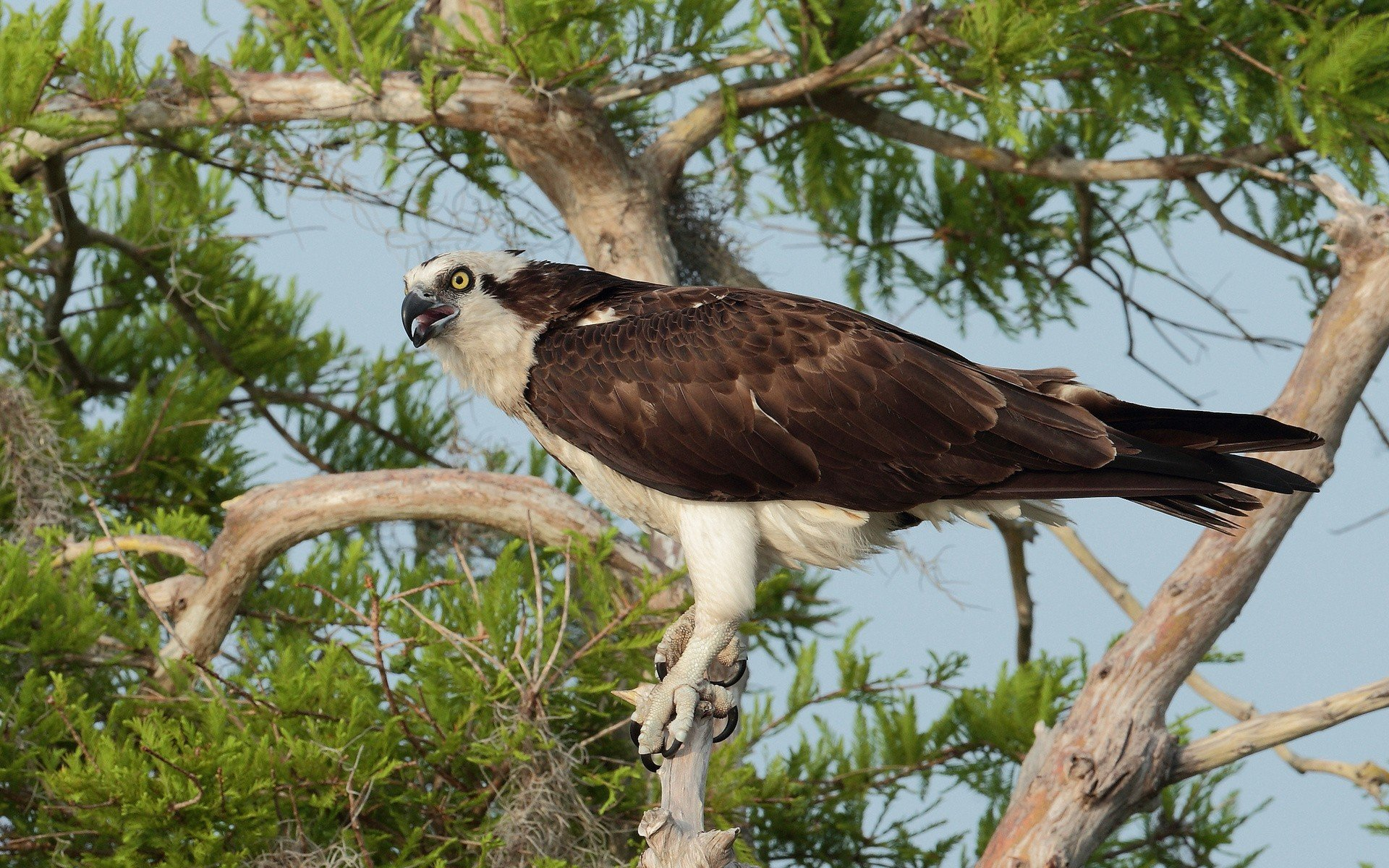 Download hd 1920x1200 Osprey computer wallpaper ID:421663 for free