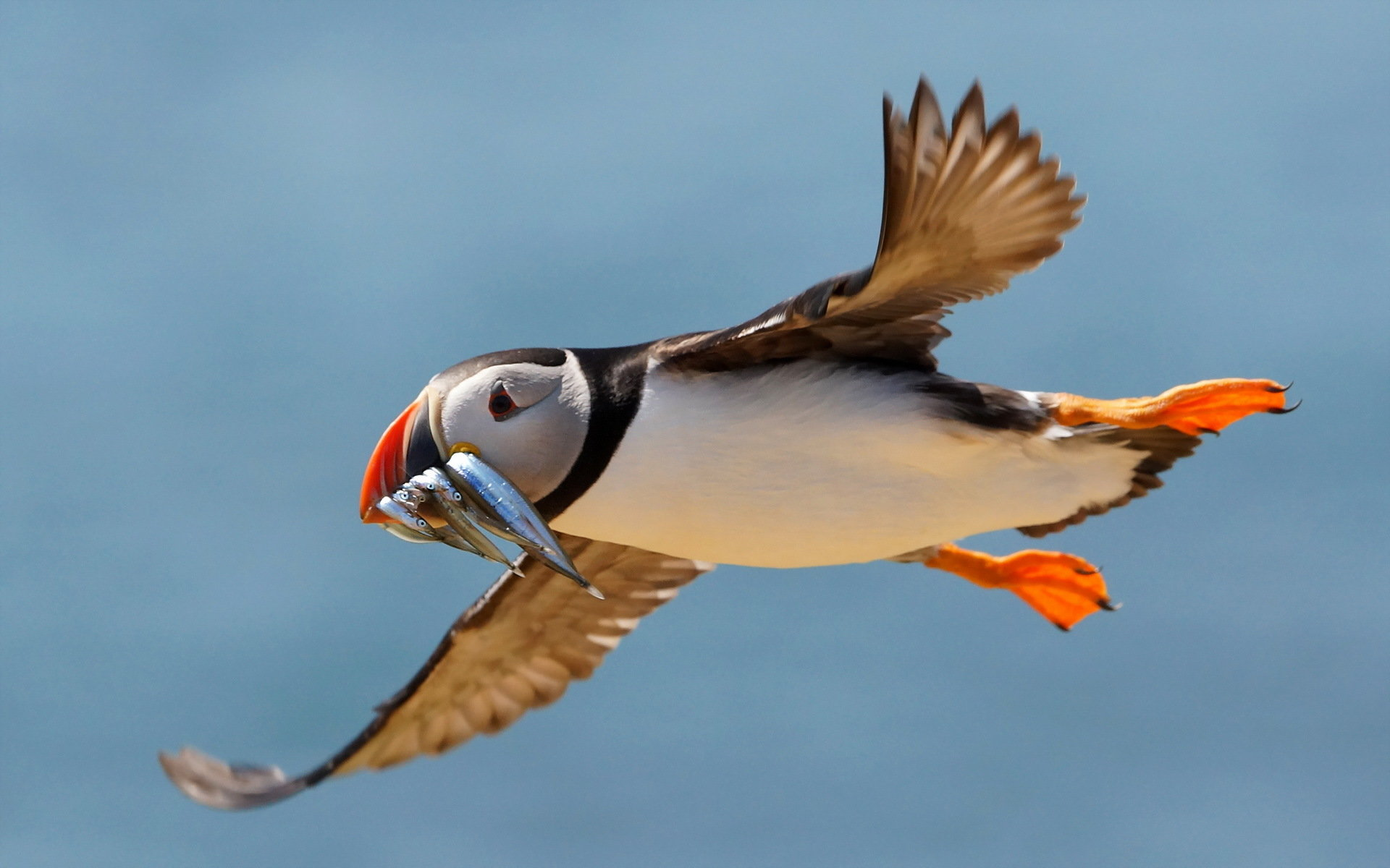 Download hd 1920x1200 Puffin computer wallpaper ID:193150 for free