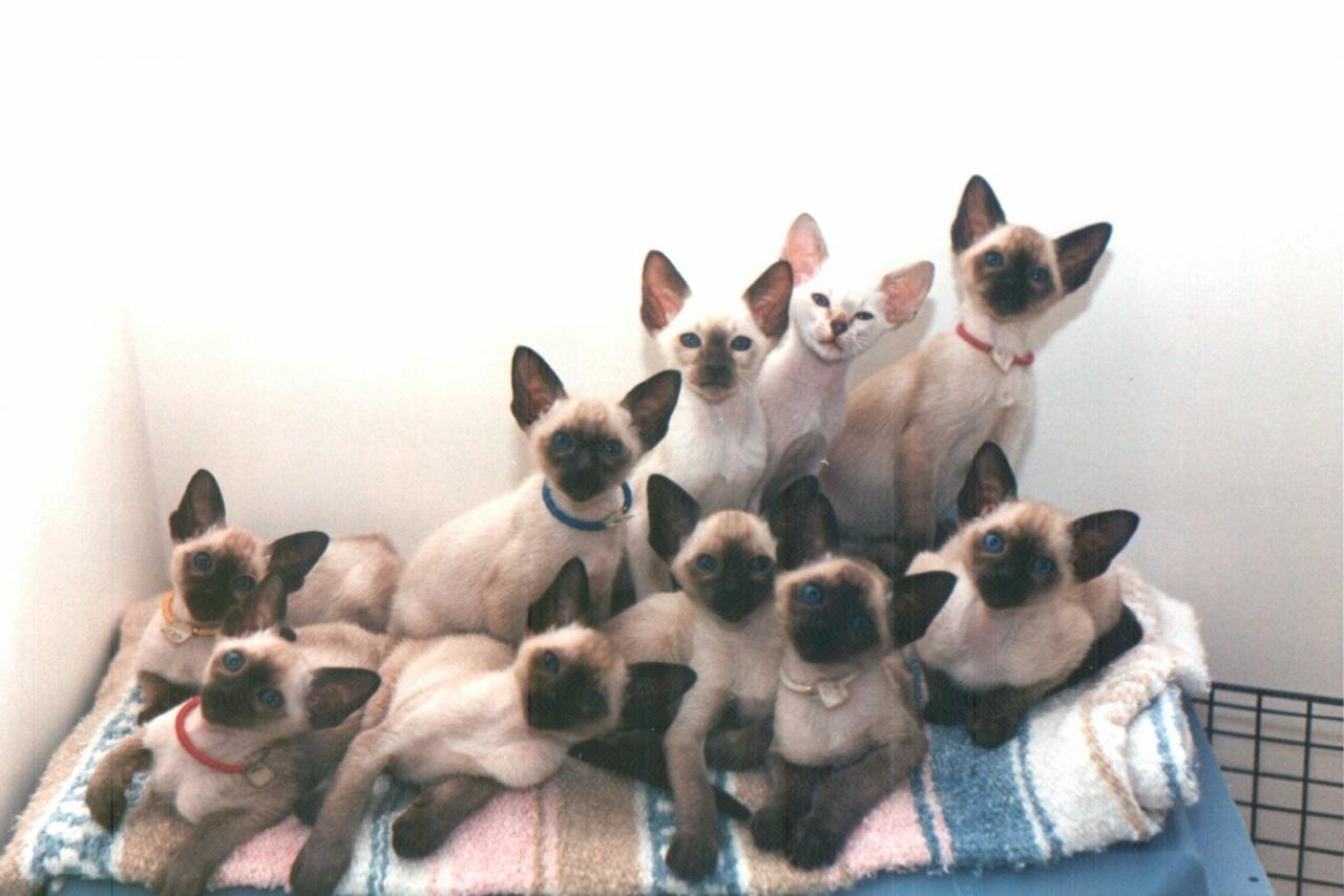 High resolution Siamese Cat hd 1280x854 background ID:53374 for desktop