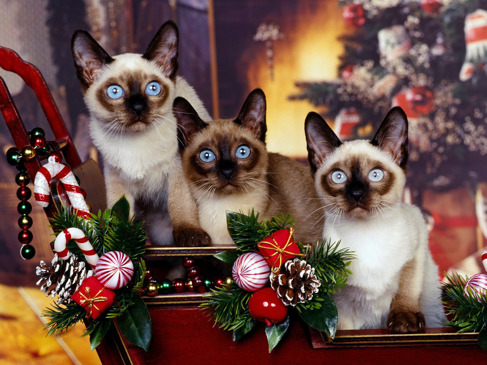 Download hd 1600x1200 Siamese Cat desktop wallpaper ID:53373 for free