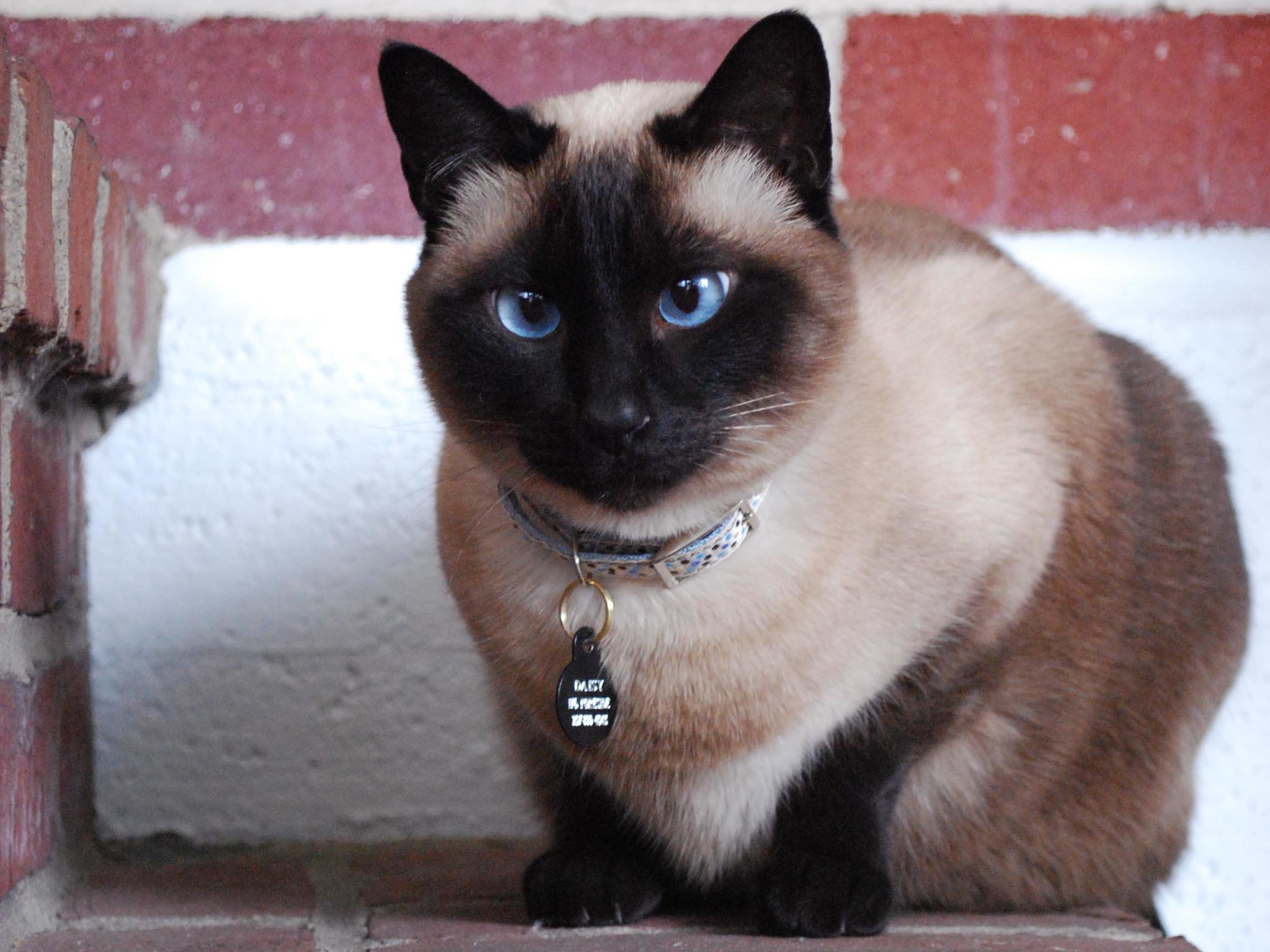 Best Siamese Cat wallpaper ID:53379 for High Resolution hd 2048x1536 computer