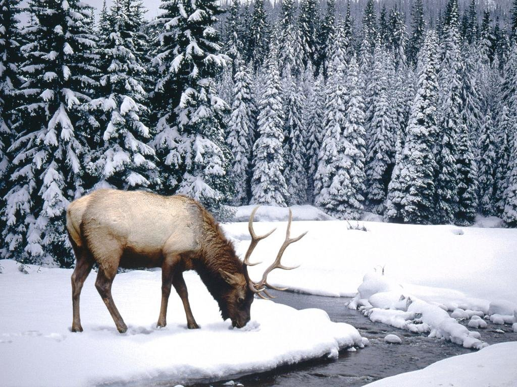 Download hd 1024x768 Elk computer background ID:248466 for free