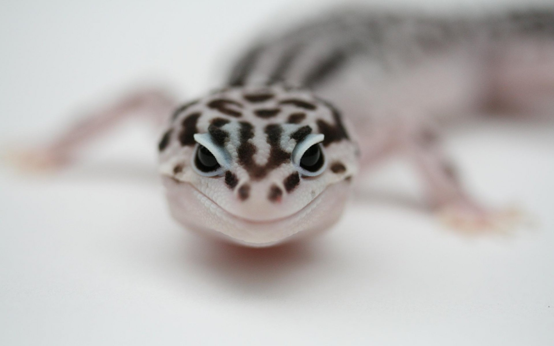 Download hd 1920x1200 Leopard Gecko computer wallpaper ID:357669 for free