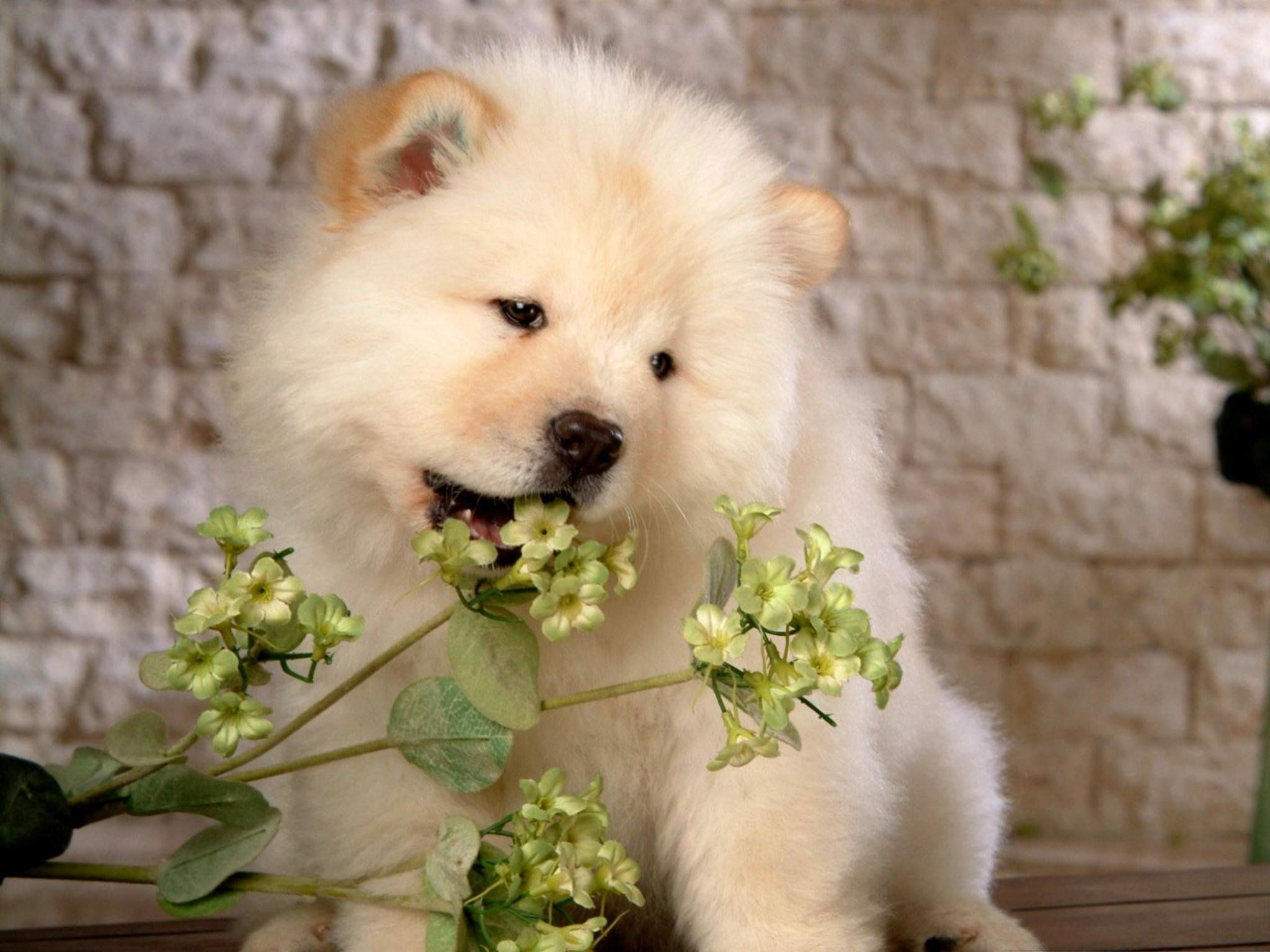 Download hd 2048x1536 Samoyed computer background ID:63154 for free