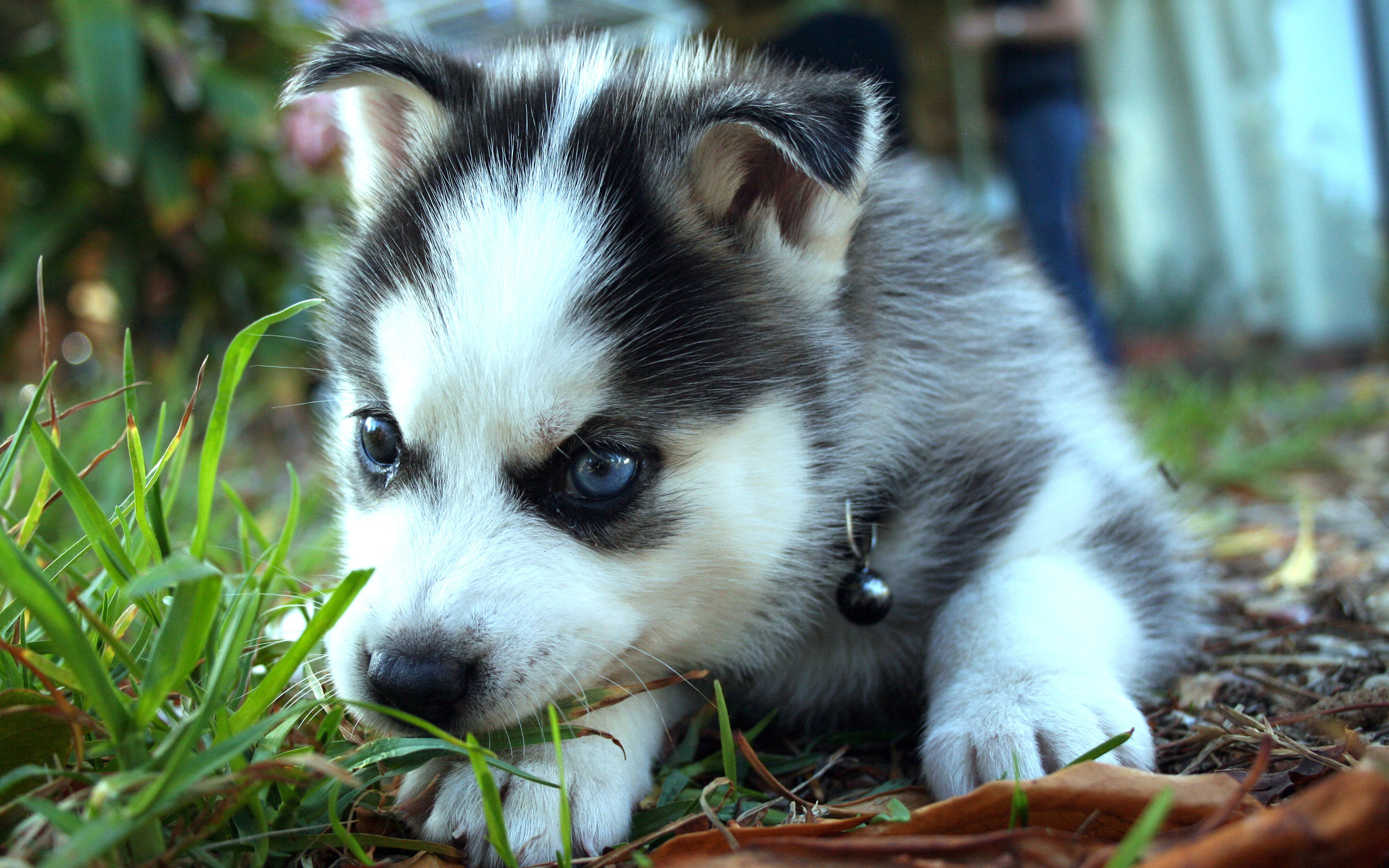 Best Siberian Husky wallpaper ID:155240 for High Resolution hd 2880x1800 desktop