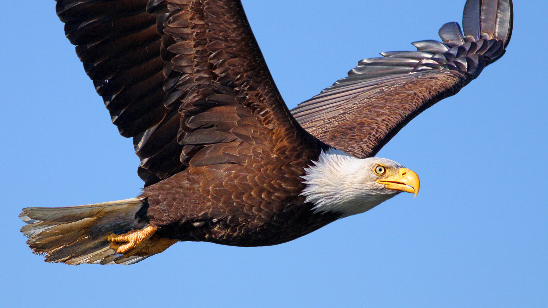 Best American Bald Eagle background ID:68728 for High Resolution full hd 1920x1080 computer