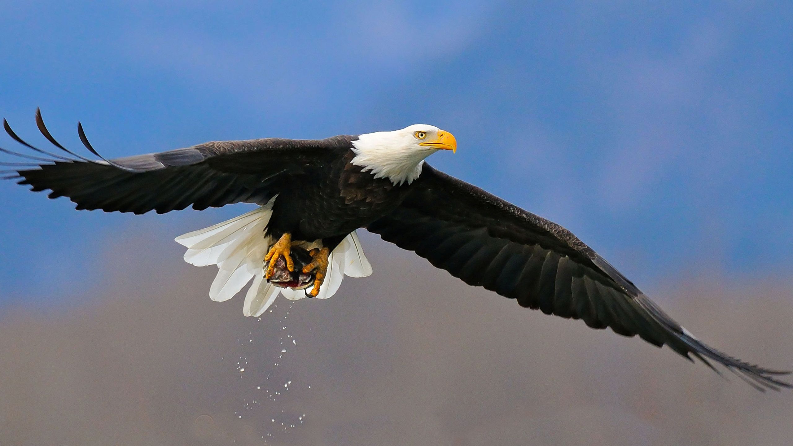 High resolution American Bald Eagle hd 2560x1440 background ID:68641 for PC