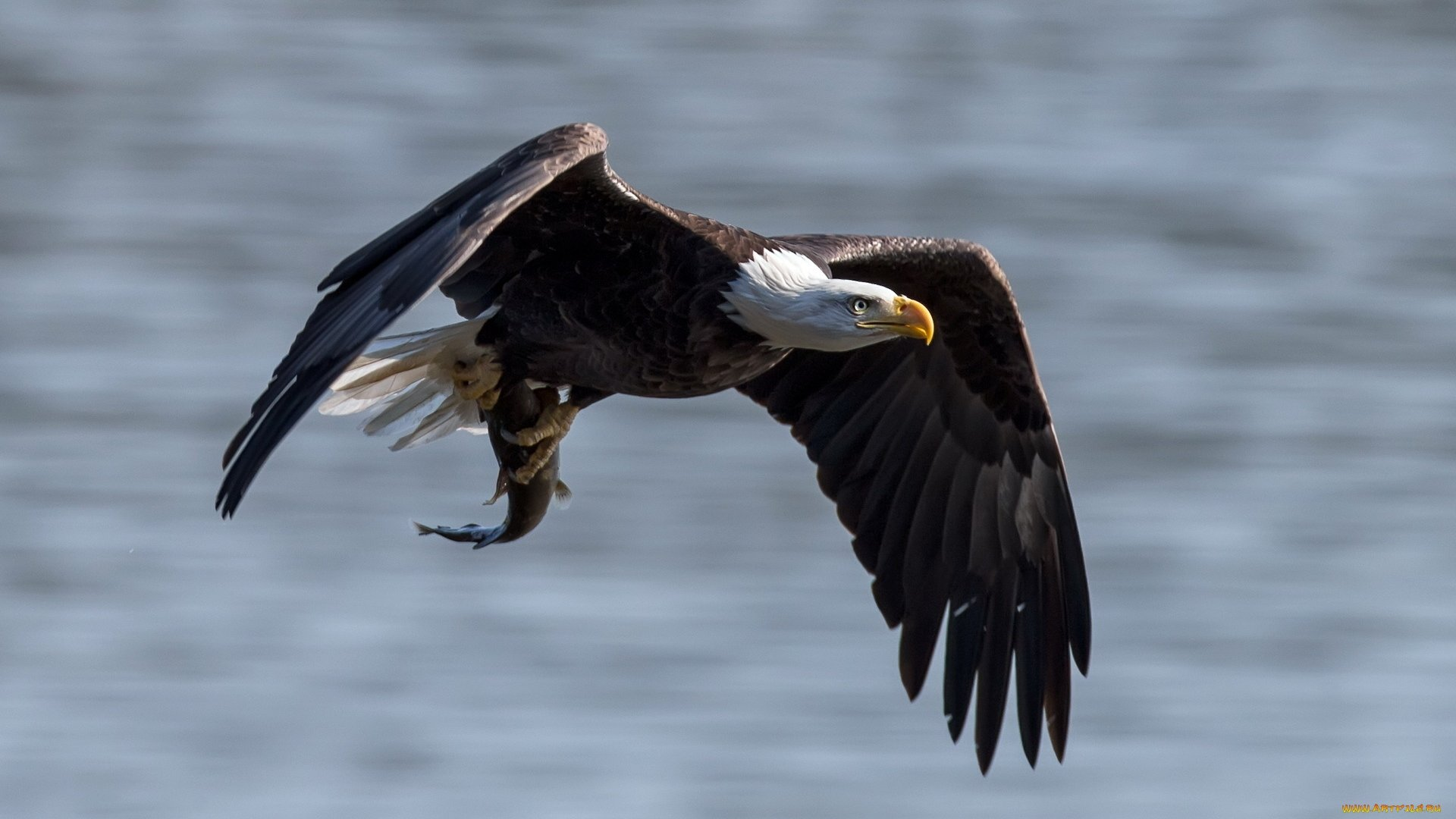 Free American Bald Eagle high quality wallpaper ID:68729 for hd 1080p desktop