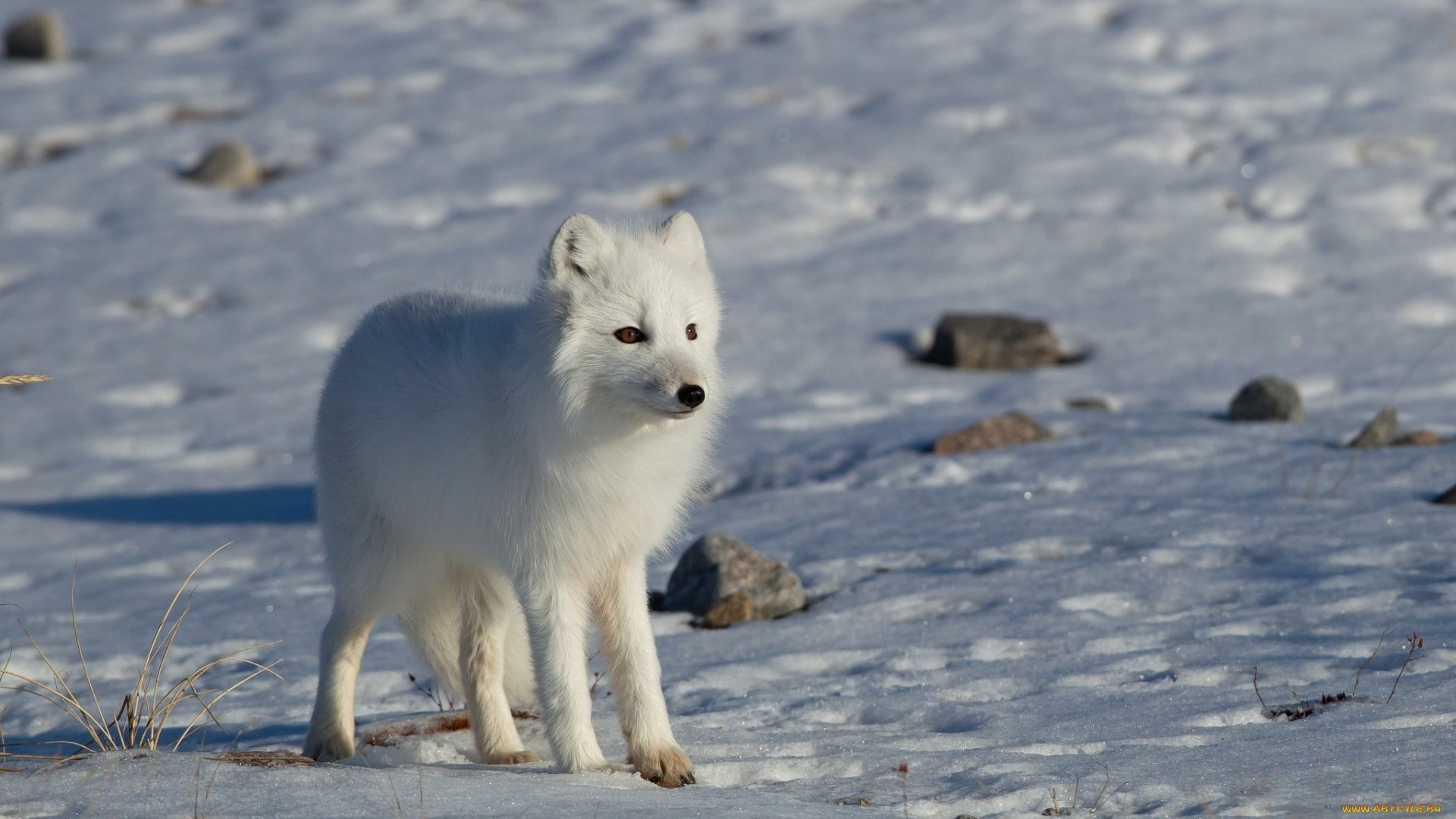 High resolution Arctic Fox hd 1080p wallpaper ID:98732 for desktop