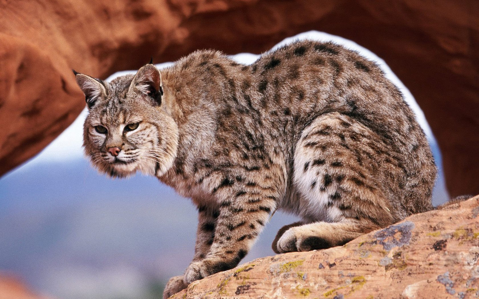 Free download Bobcat background ID:191645 hd 1680x1050 for desktop