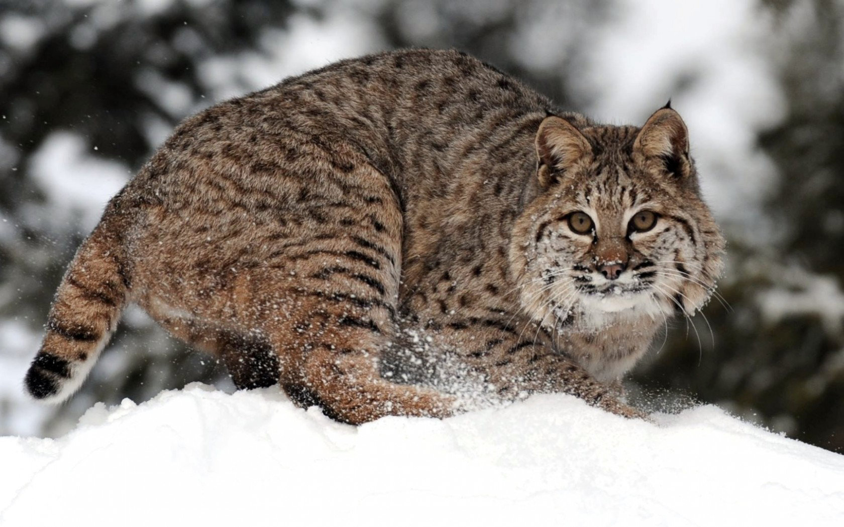 Download hd 1680x1050 Bobcat computer wallpaper ID:191644 for free