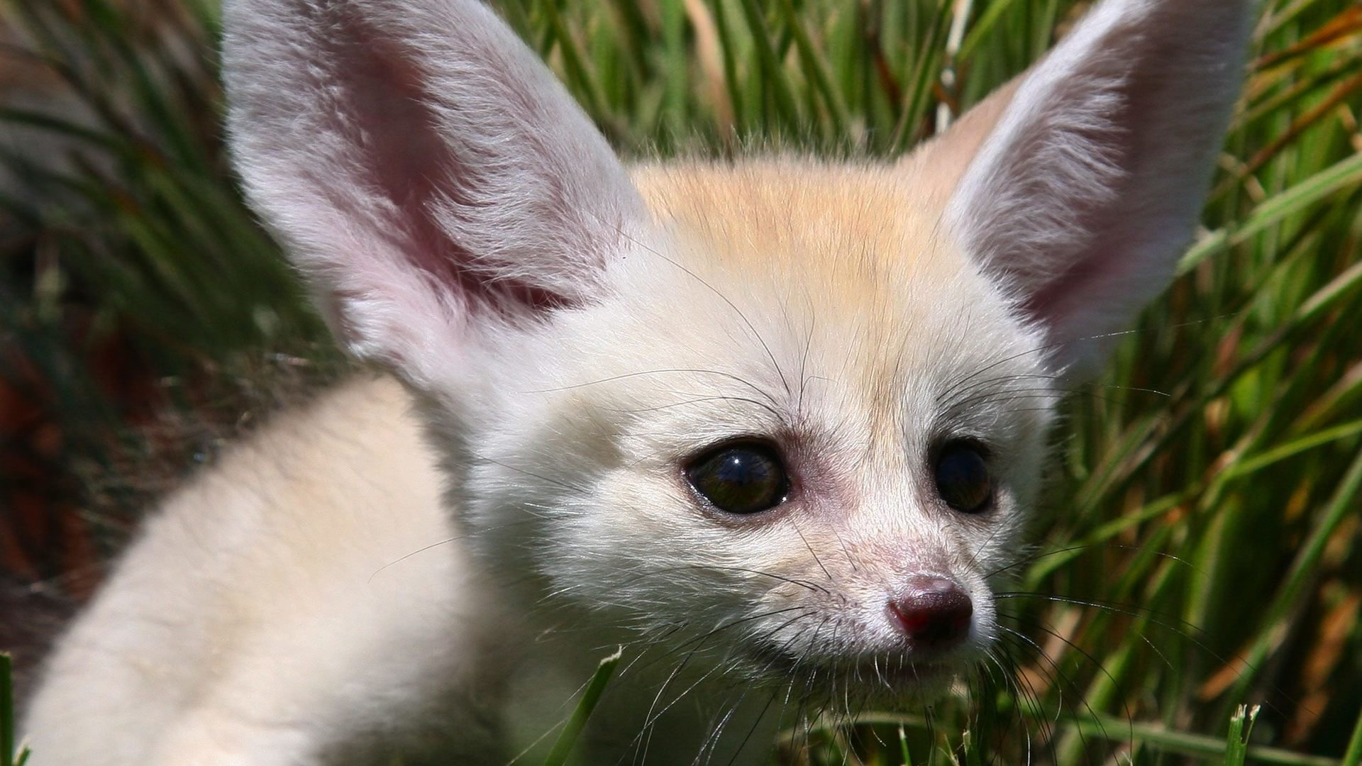 Awesome Fennec Fox free wallpaper ID:137676 for full hd 1920x1080 desktop