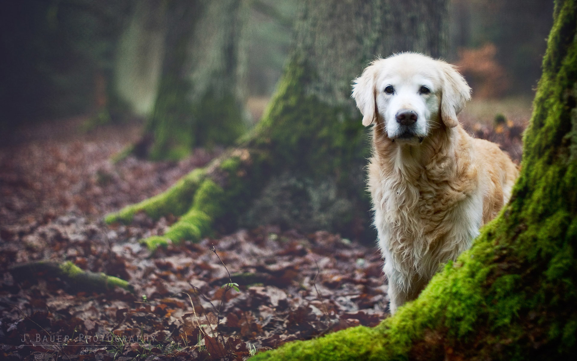 High resolution Golden Retriever hd 1920x1200 background ID:211808 for PC
