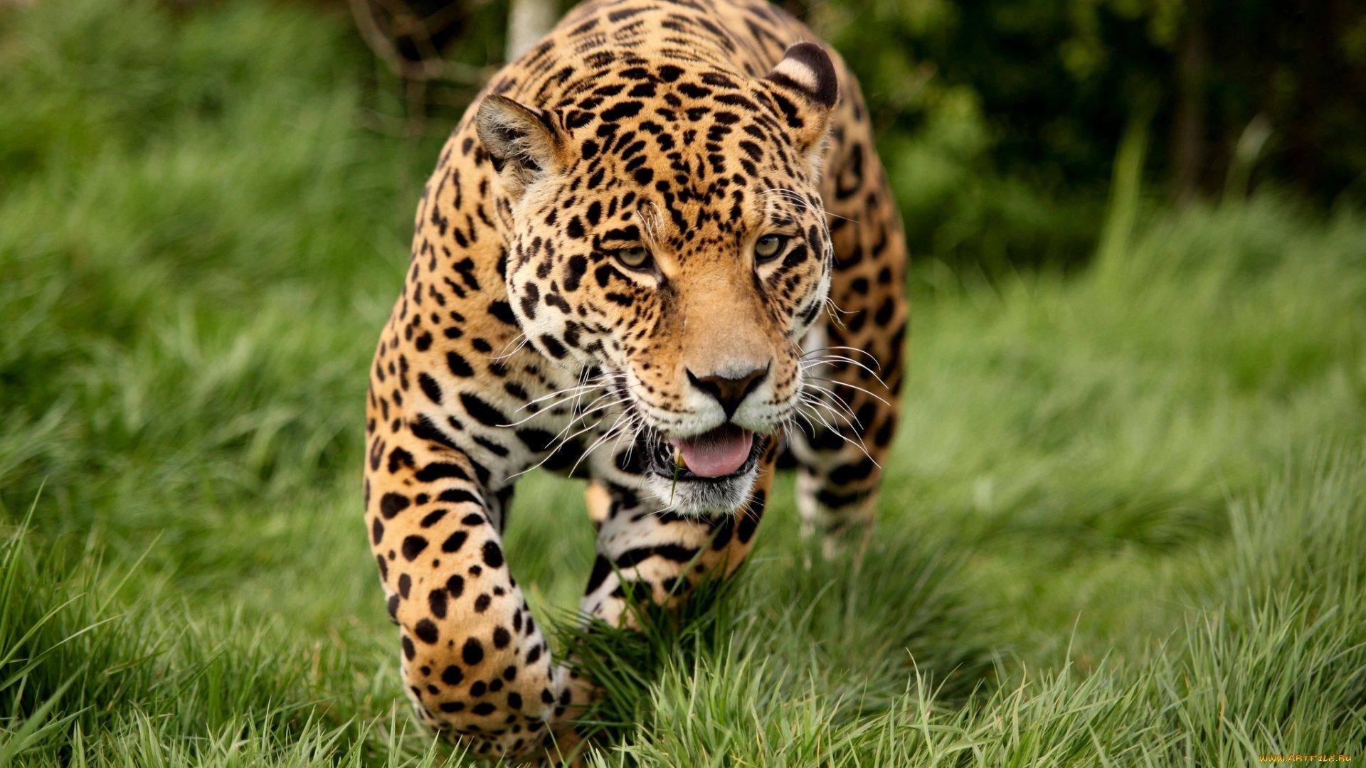 Free Jaguar High Quality Wallpaper Id 30197 For Hd 1080p Desktop