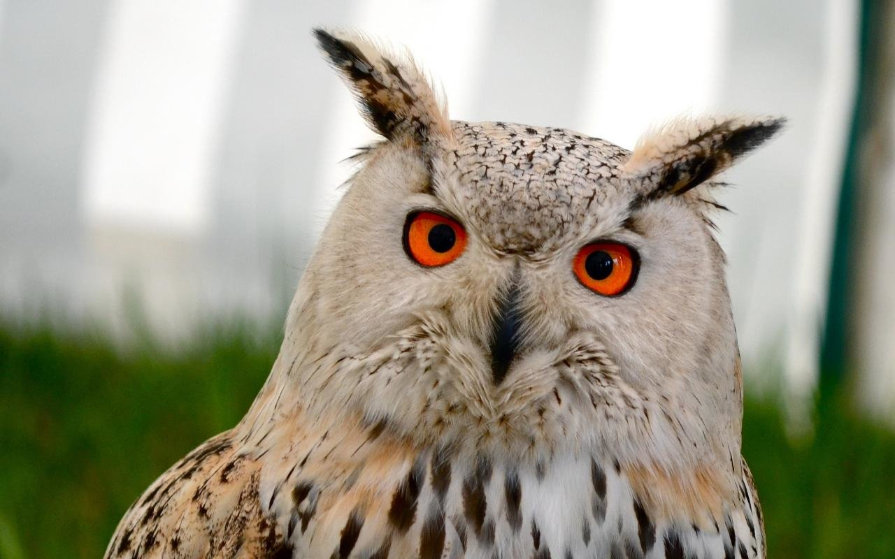 Best Owl wallpaper ID:237093 for High Resolution hd 1280x800 computer