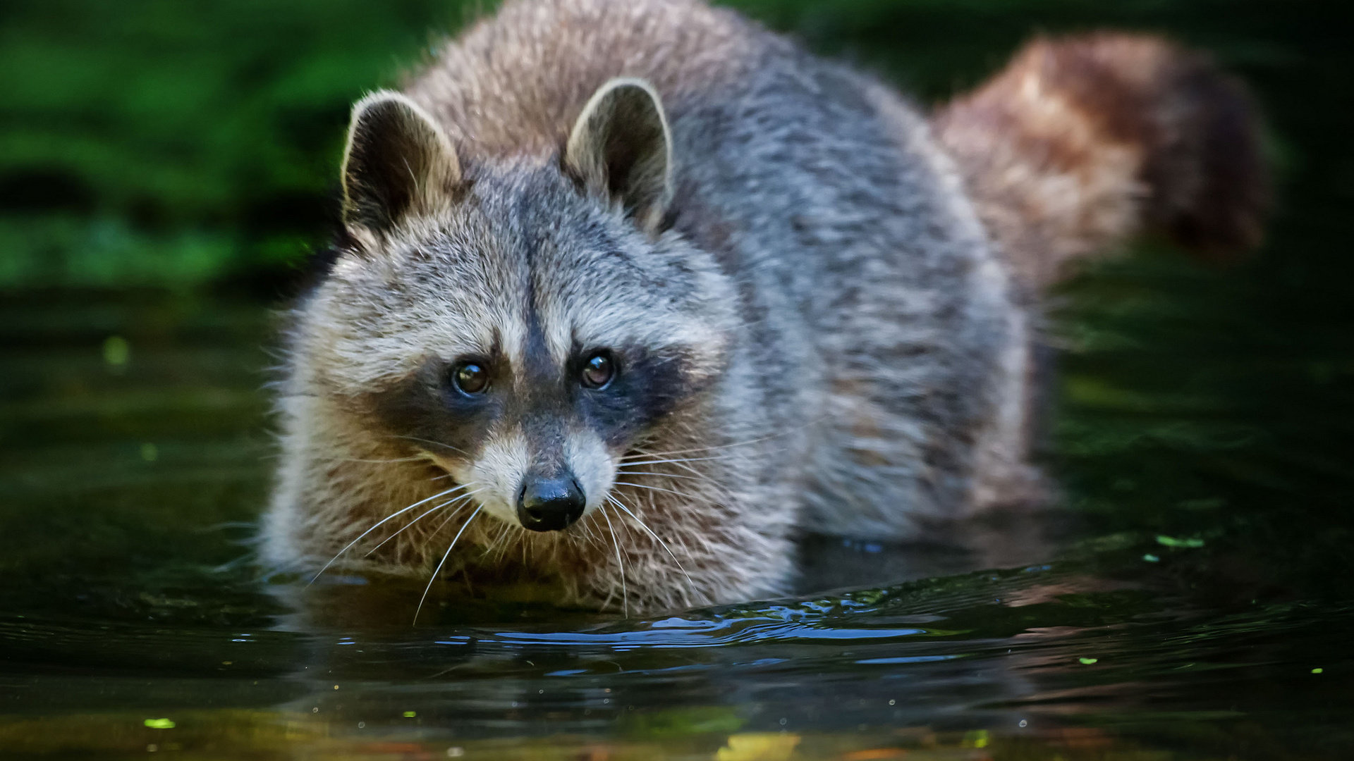 High resolution Raccoon full hd background ID:185520 for computer