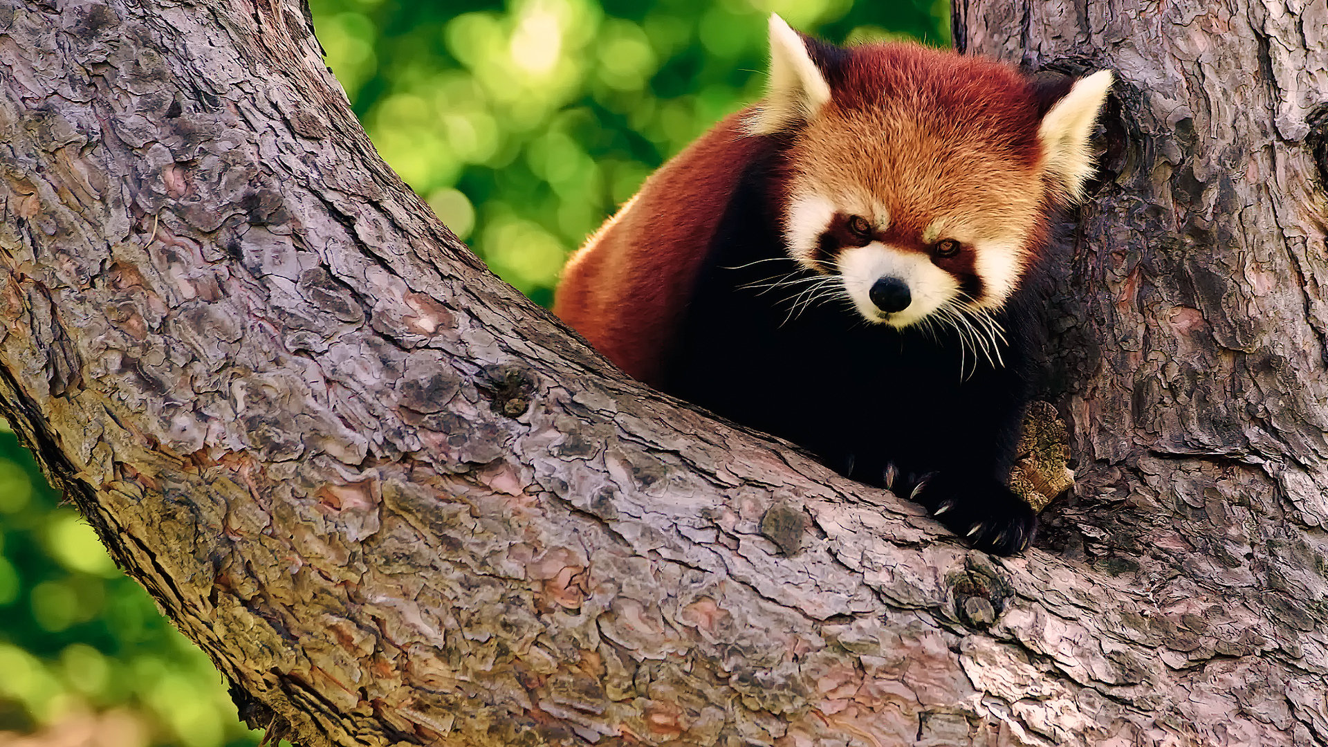 Download full hd 1920x1080 Red Panda PC wallpaper ID:64051 for free