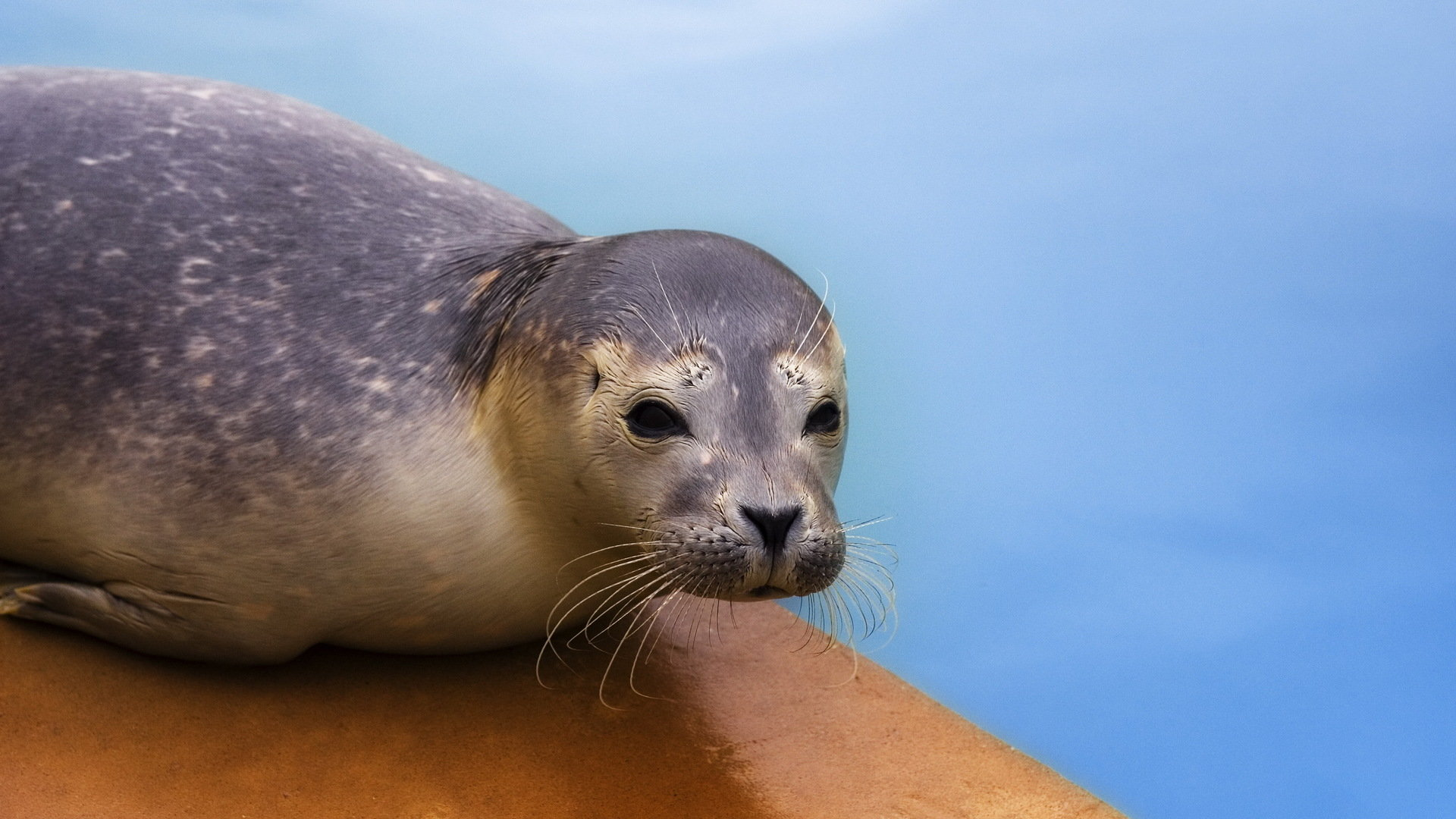 Free Seal high quality wallpaper ID:183381 for full hd 1920x1080 PC