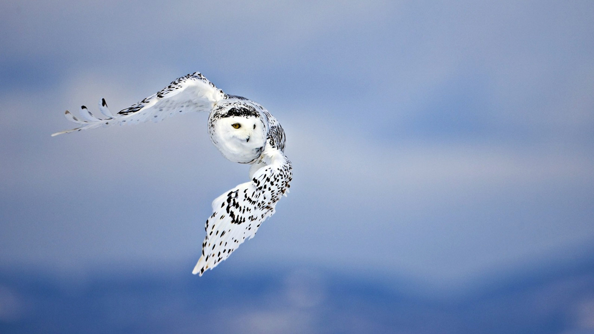 Awesome Snowy Owl free background ID:26808 for hd 1920x1080 desktop