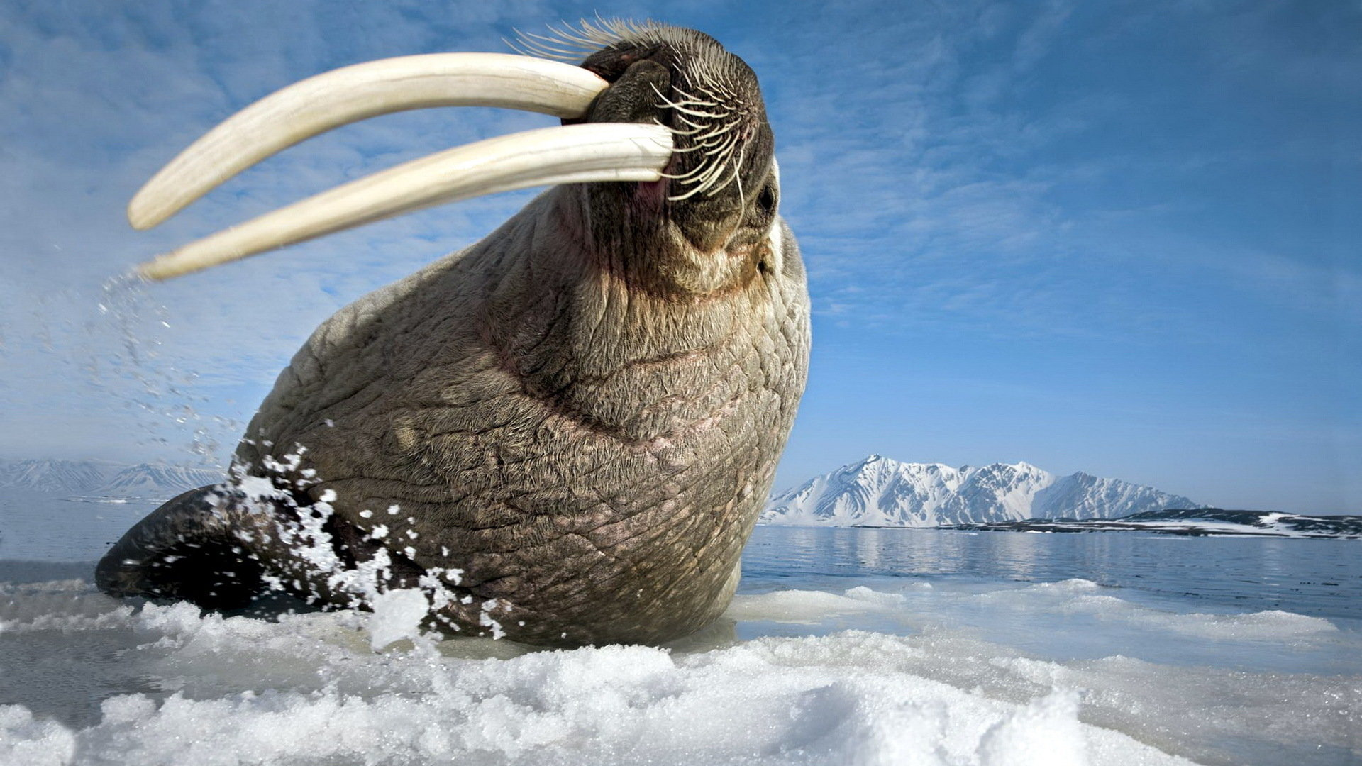 Best Walrus wallpaper ID:394827 for High Resolution full hd computer