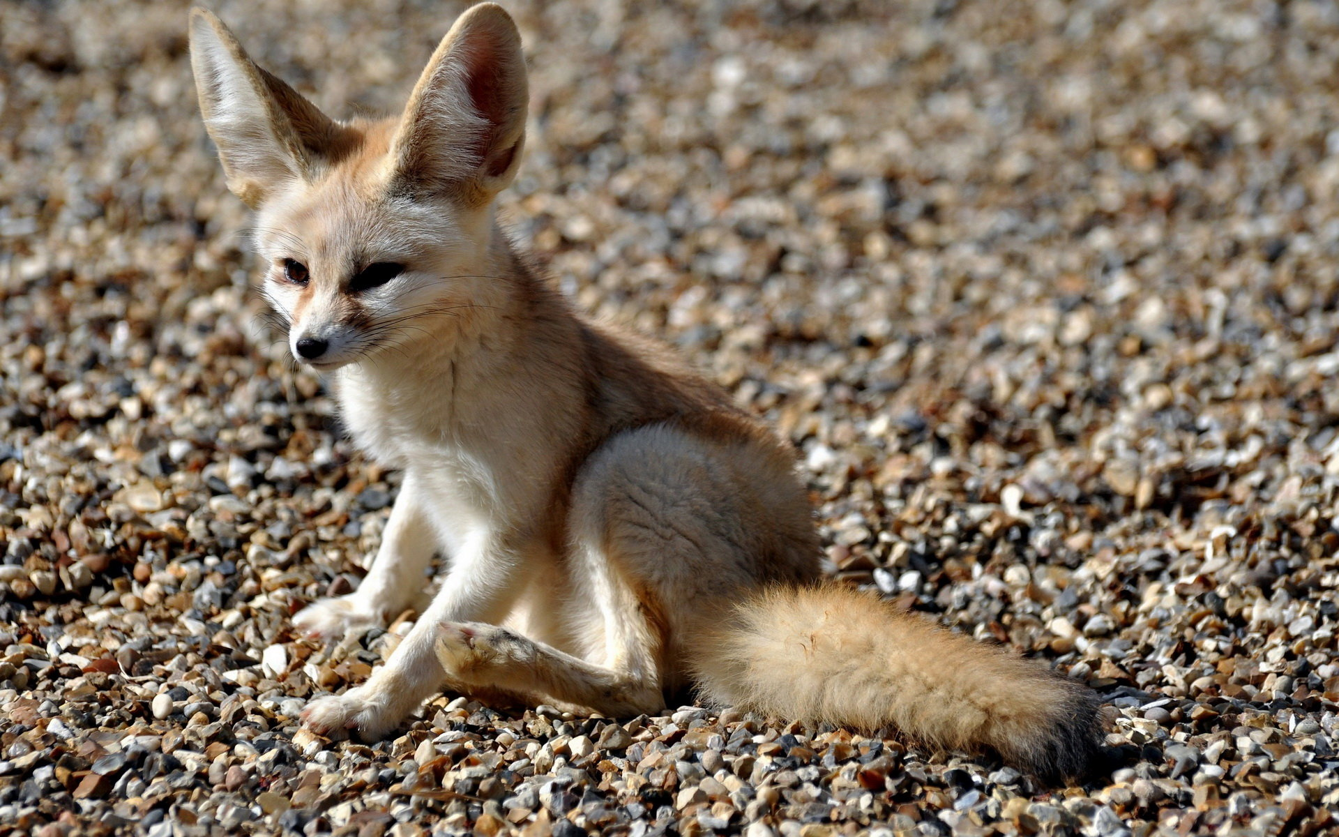 High resolution Fennec Fox hd 1920x1200 wallpaper ID:137658 for computer