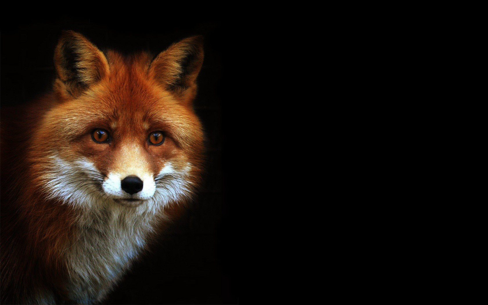 Best Fox wallpaper ID:58571 for High Resolution hd 1680x1050 PC
