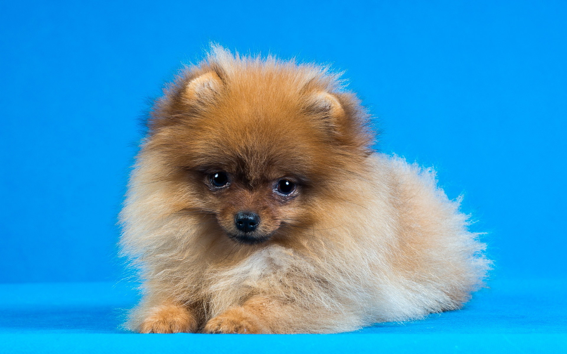 Awesome Pomeranian free background ID:184948 for hd 1920x1200 desktop
