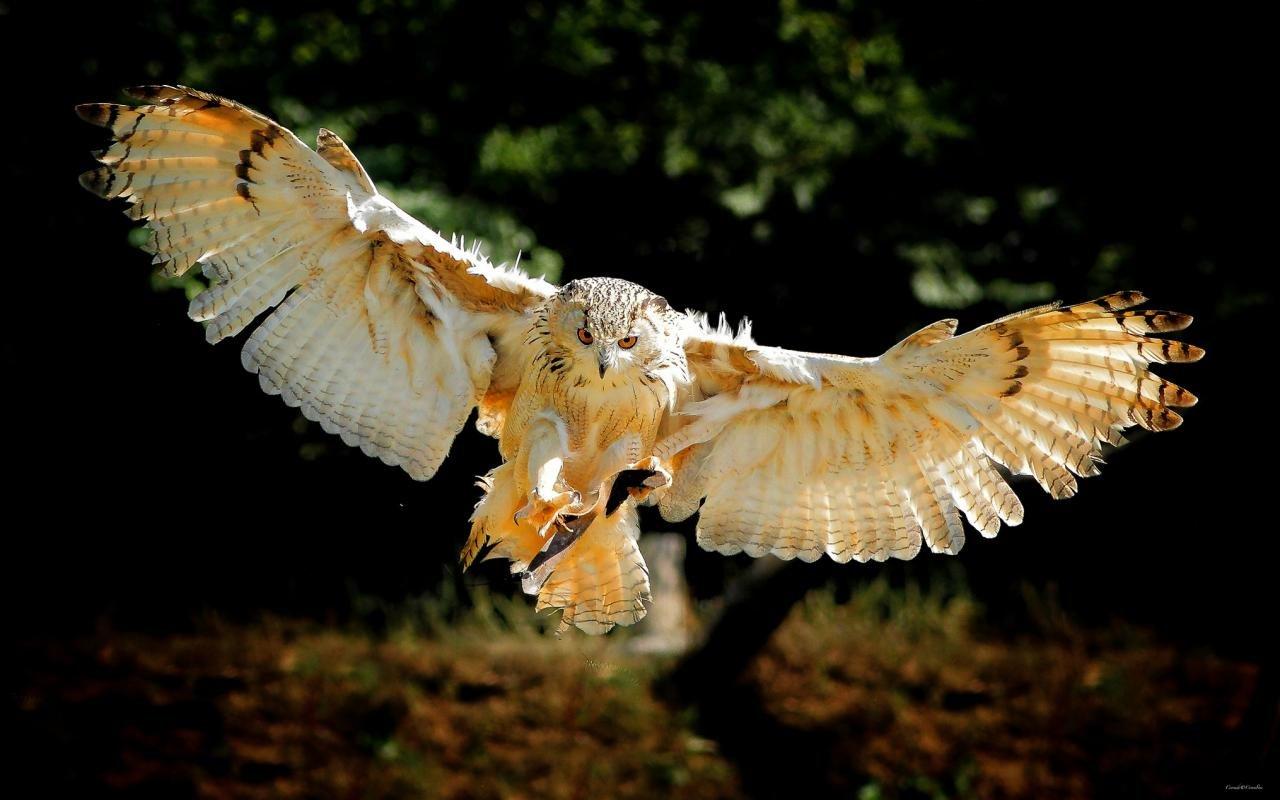Free Owl high quality wallpaper ID:236992 for hd 1280x800 desktop