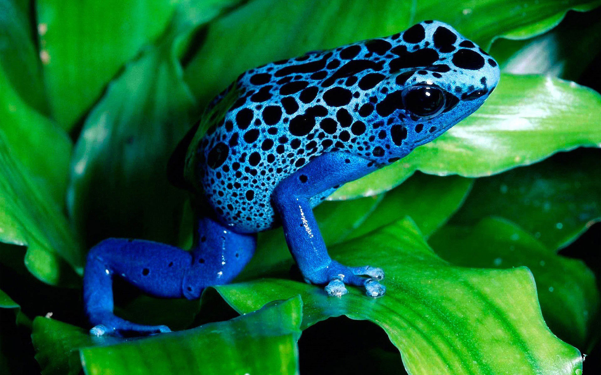 High resolution Poison Dart Frog hd 1920x1200 background ID:253490 for computer