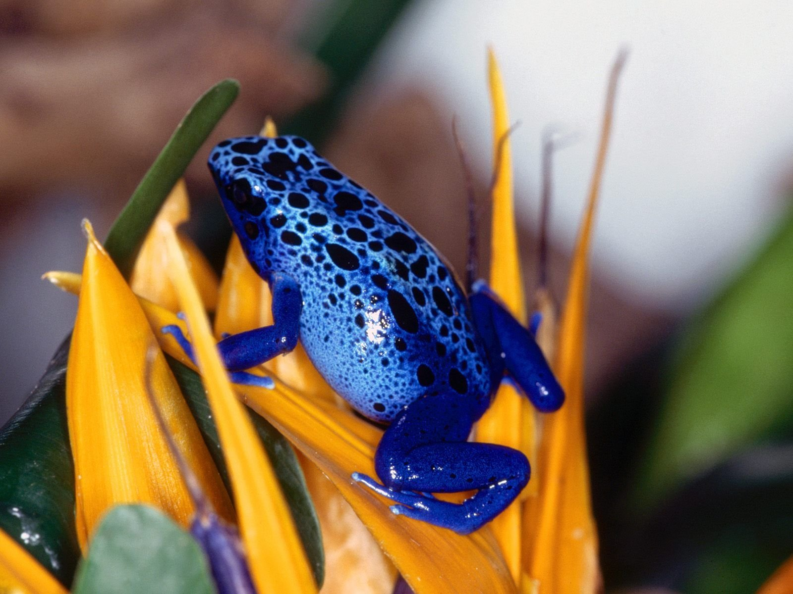 Free download Poison Dart Frog wallpaper ID:253489 hd 1600x1200 for PC