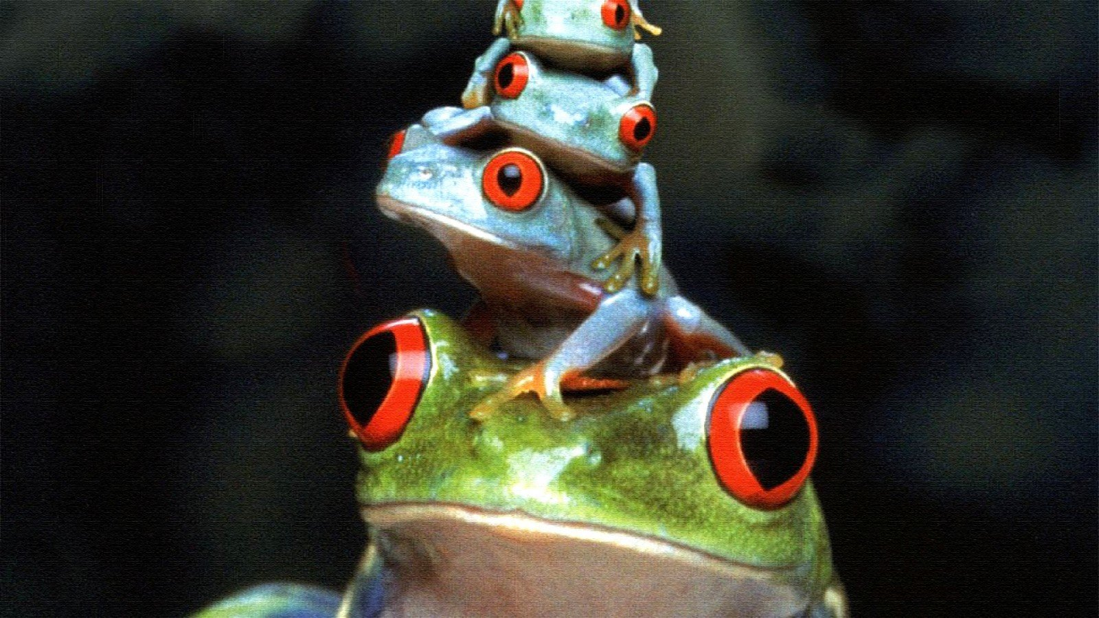 Awesome Red Eyed Tree Frog free wallpaper ID:20214 for hd 1600x900 PC
