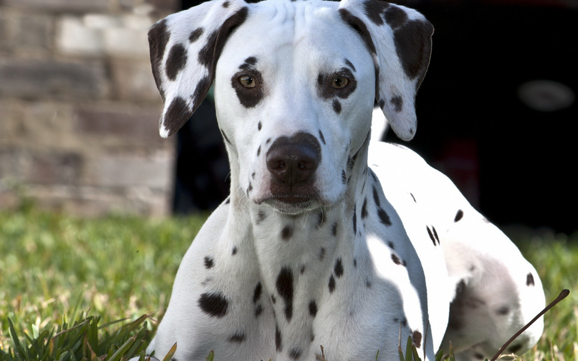 Awesome Dalmatian free background ID:433529 for hd 1920x1200 computer