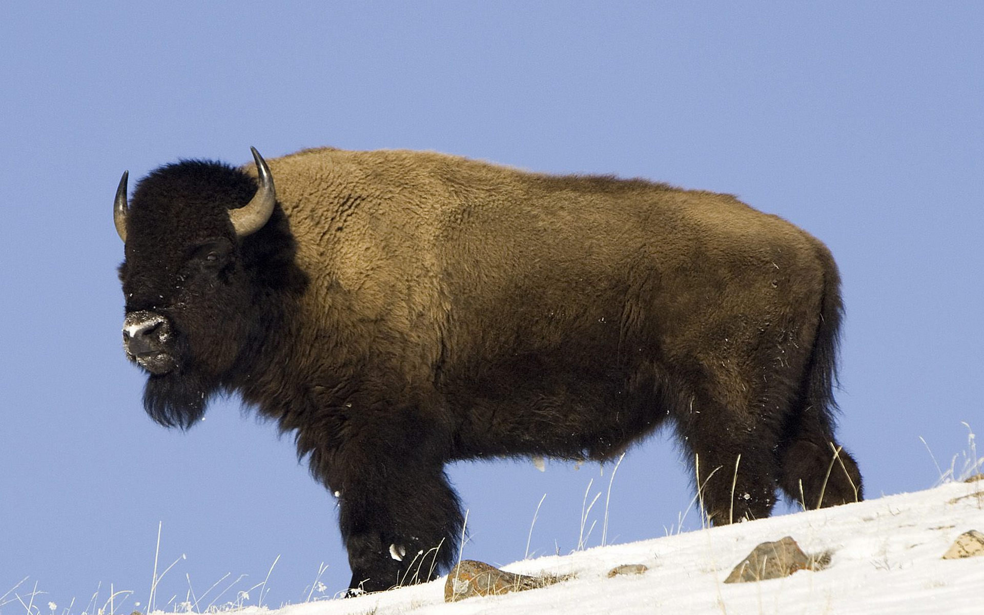 Free download Bison background ID:130638 hd 1920x1200 for PC