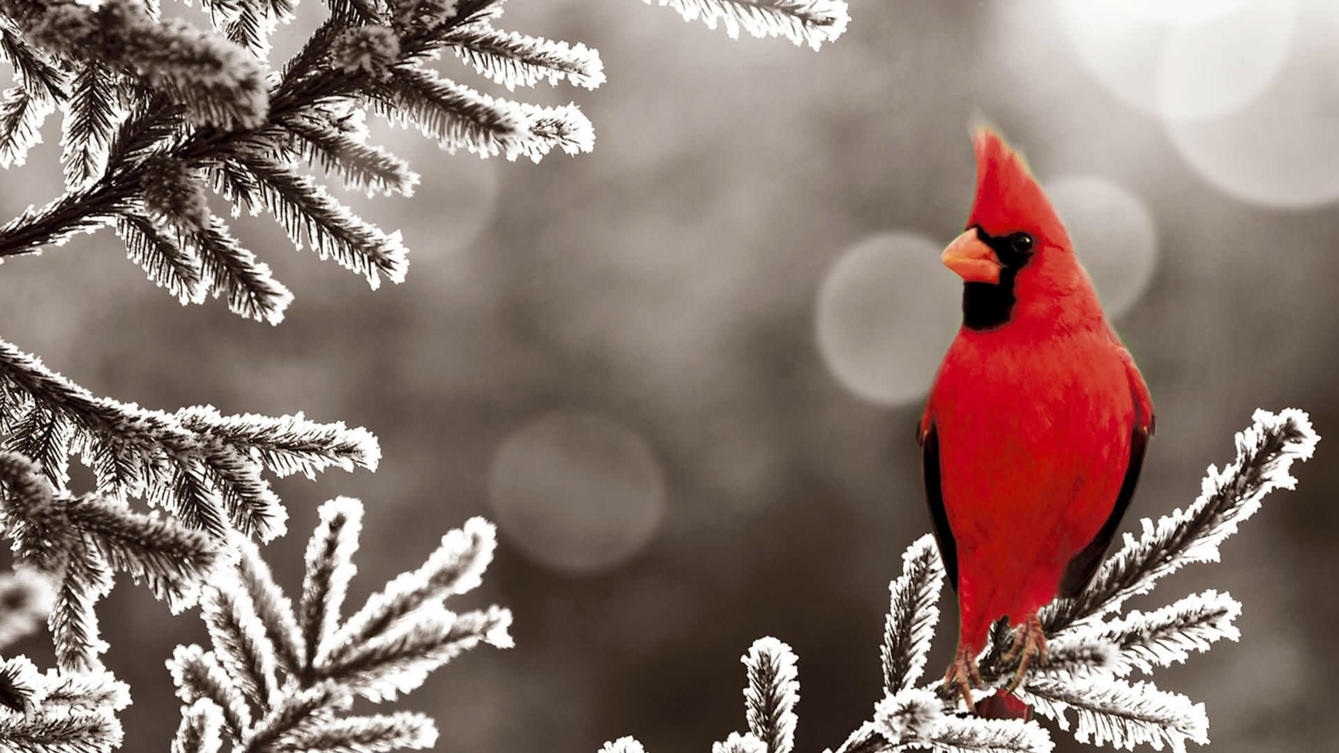 High resolution Cardinal hd 1080p background ID:24685 for PC