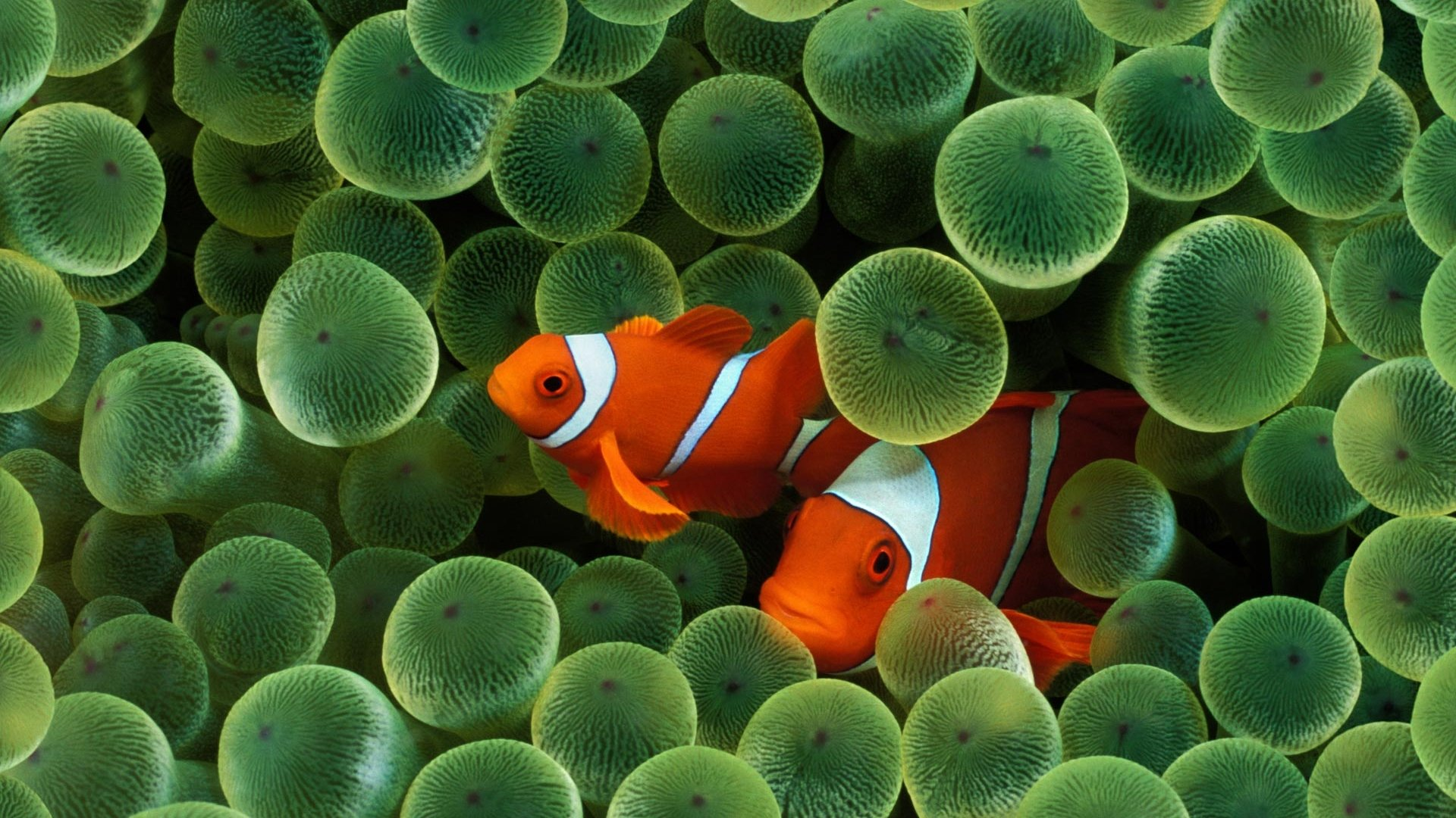 Best Clownfish background ID:53230 for High Resolution full hd 1080p PC