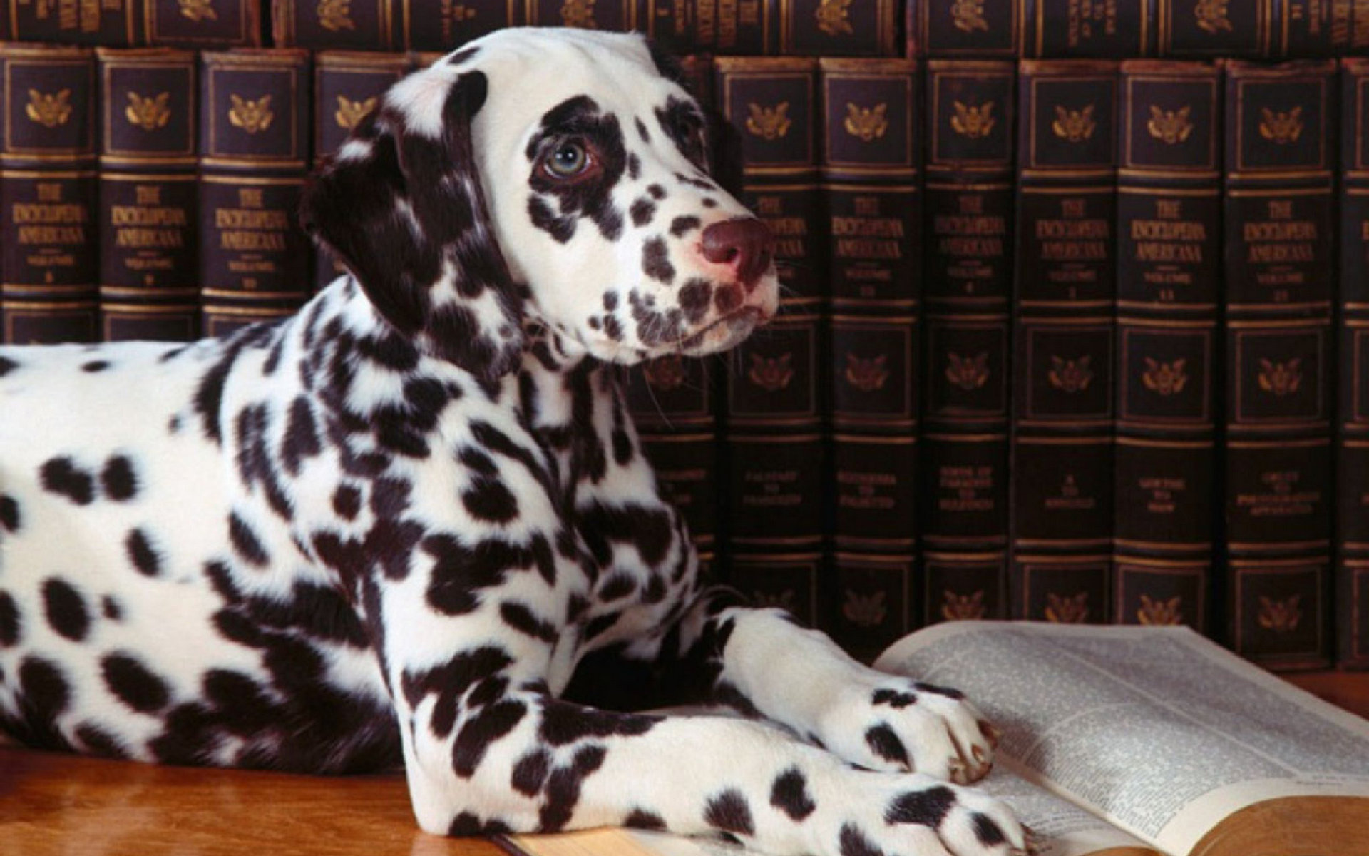 Download hd 1920x1200 Dalmatian computer background ID:433530 for free