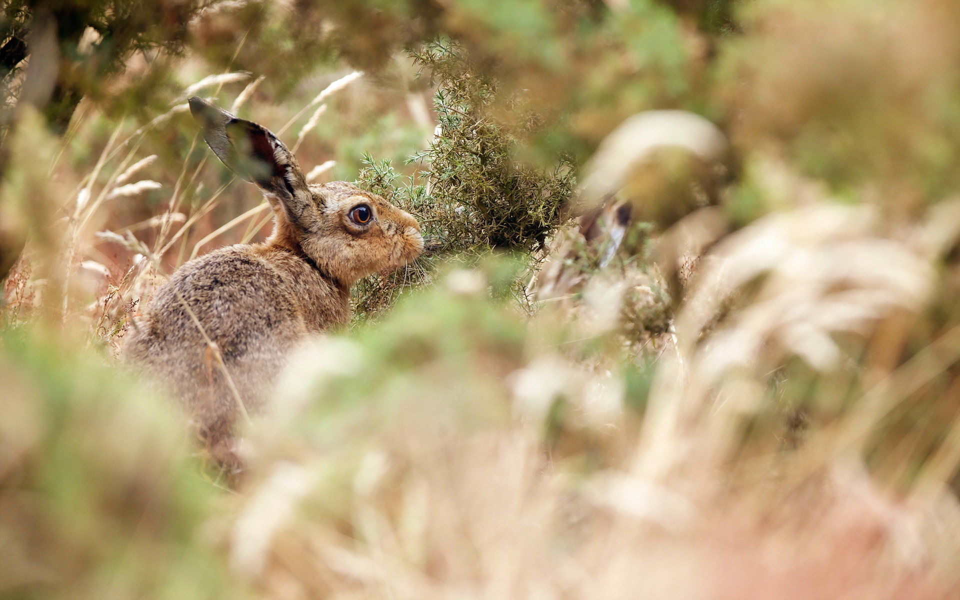 Free Hare high quality wallpaper ID:81079 for hd 1920x1200 PC