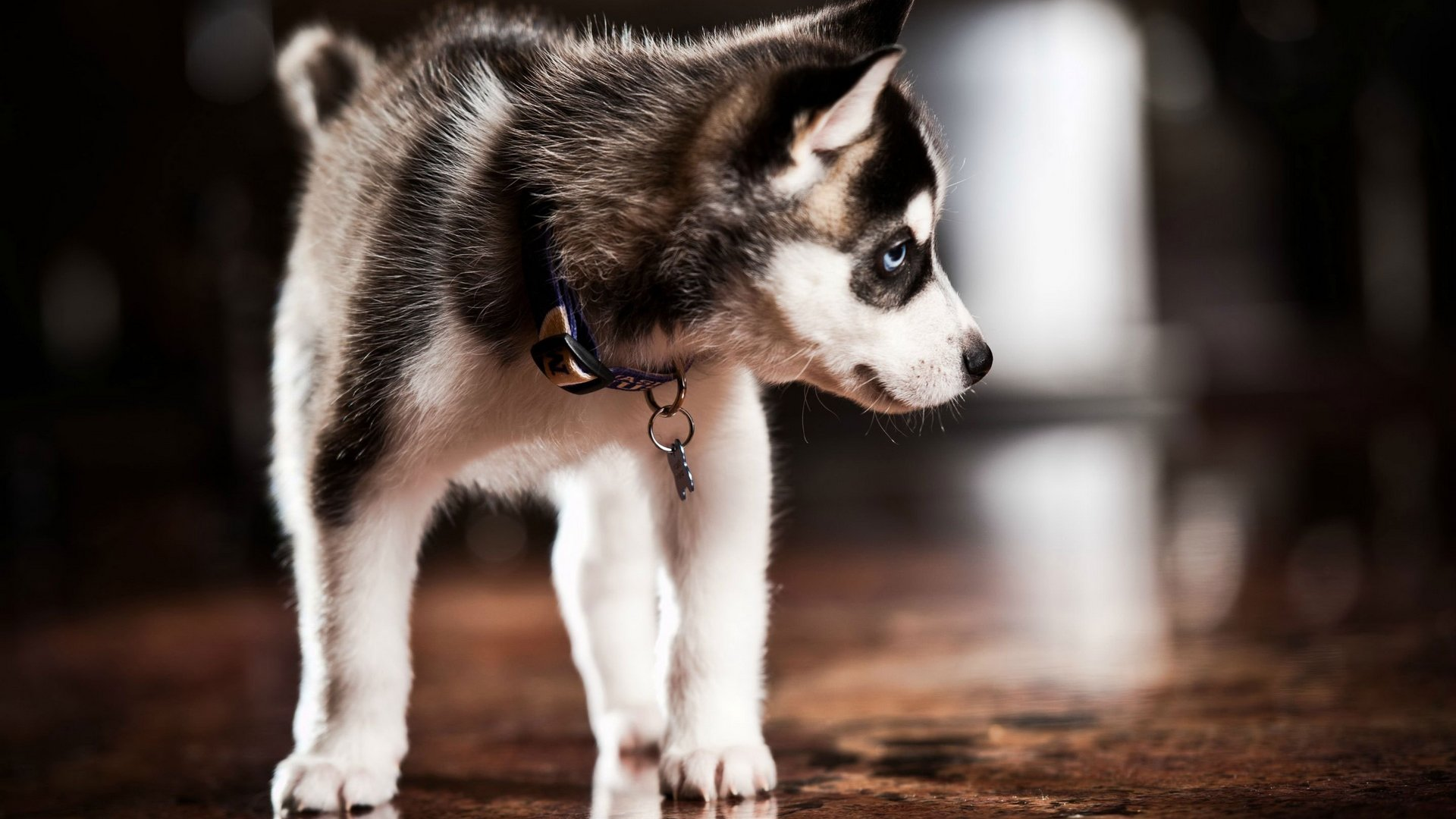 Awesome Husky free wallpaper ID:198322 for hd 1920x1080 PC