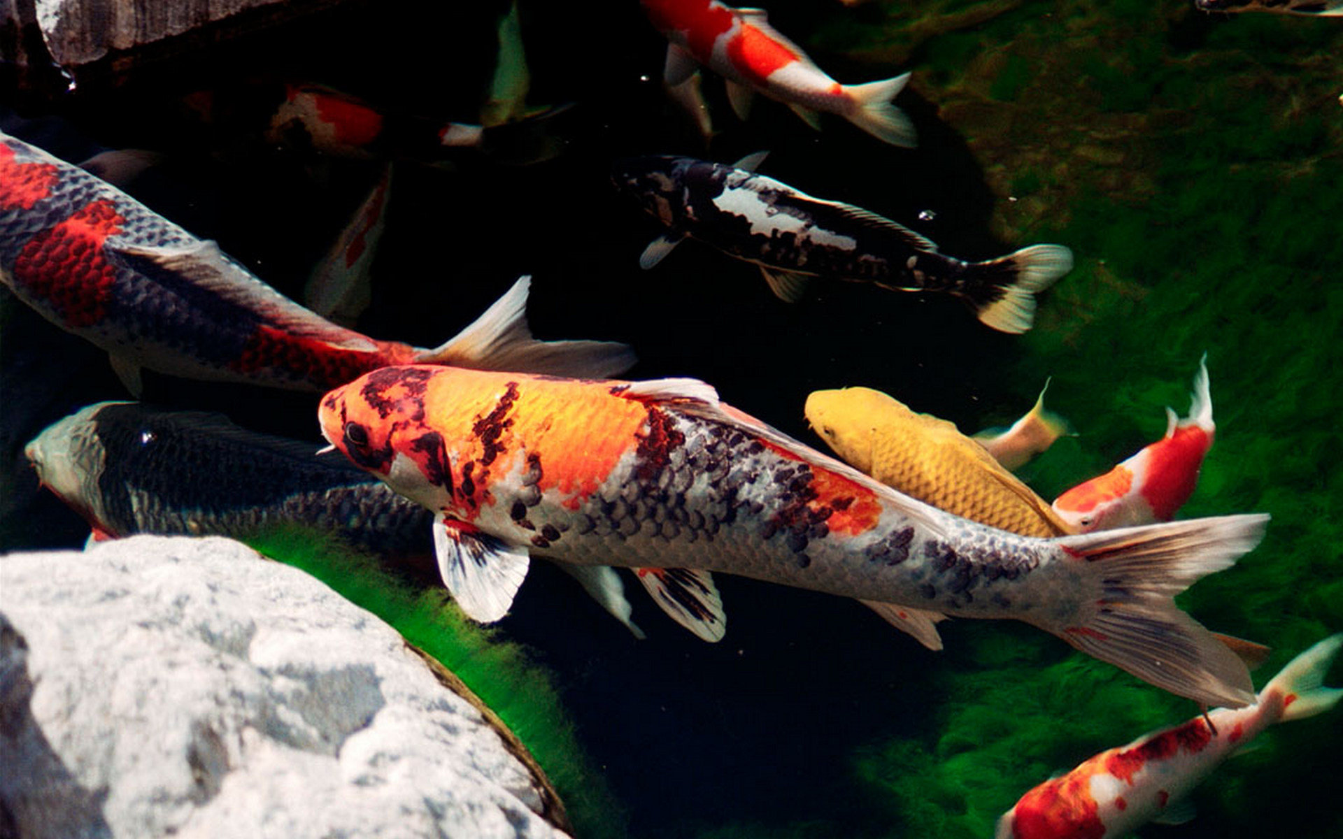 Download hd 1920x1200 Koi PC background ID:134433 for free