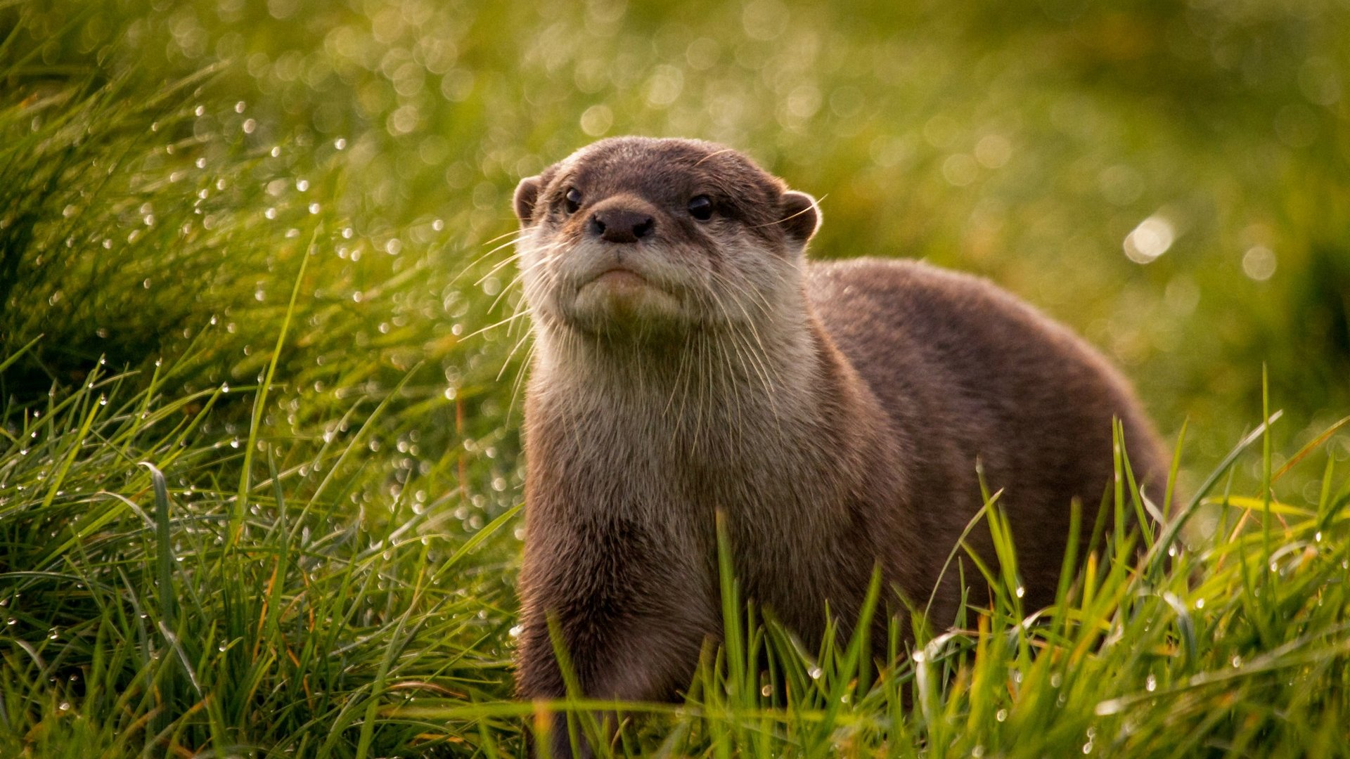 High resolution Otter hd 1080p background ID:207613 for PC