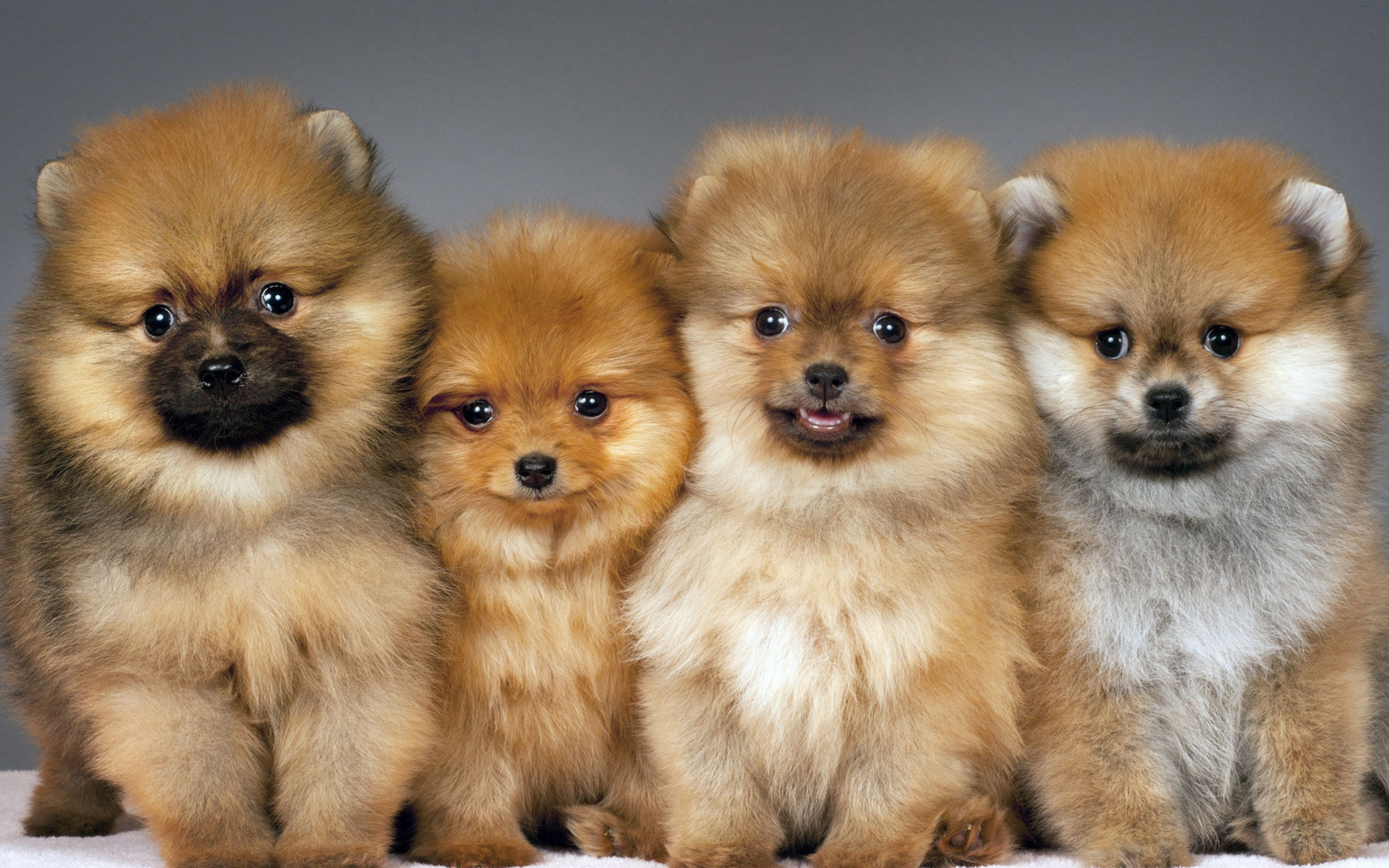 Download hd 1920x1200 Pomeranian computer background ID:184947 for free