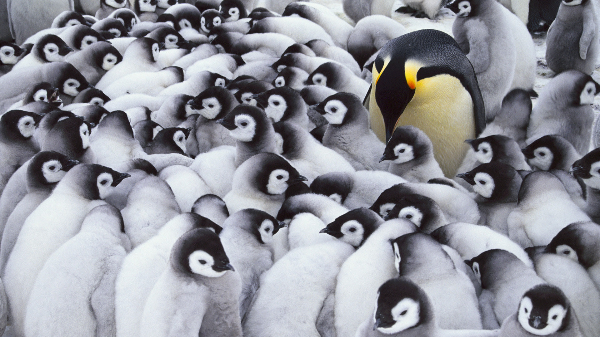 Awesome Emperor Penguin free background ID:47924 for full hd 1080p PC