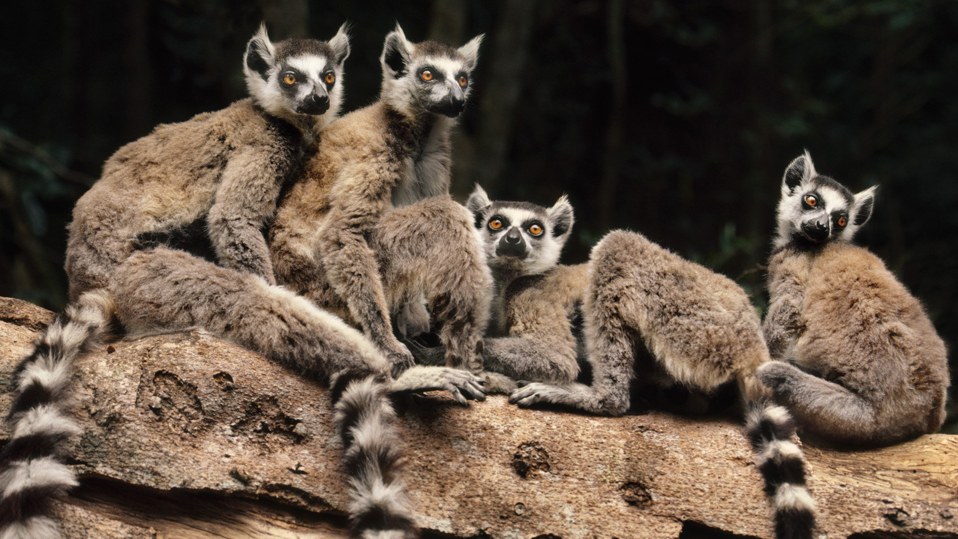 Free Lemur high quality background ID:53173 for hd 1080p desktop