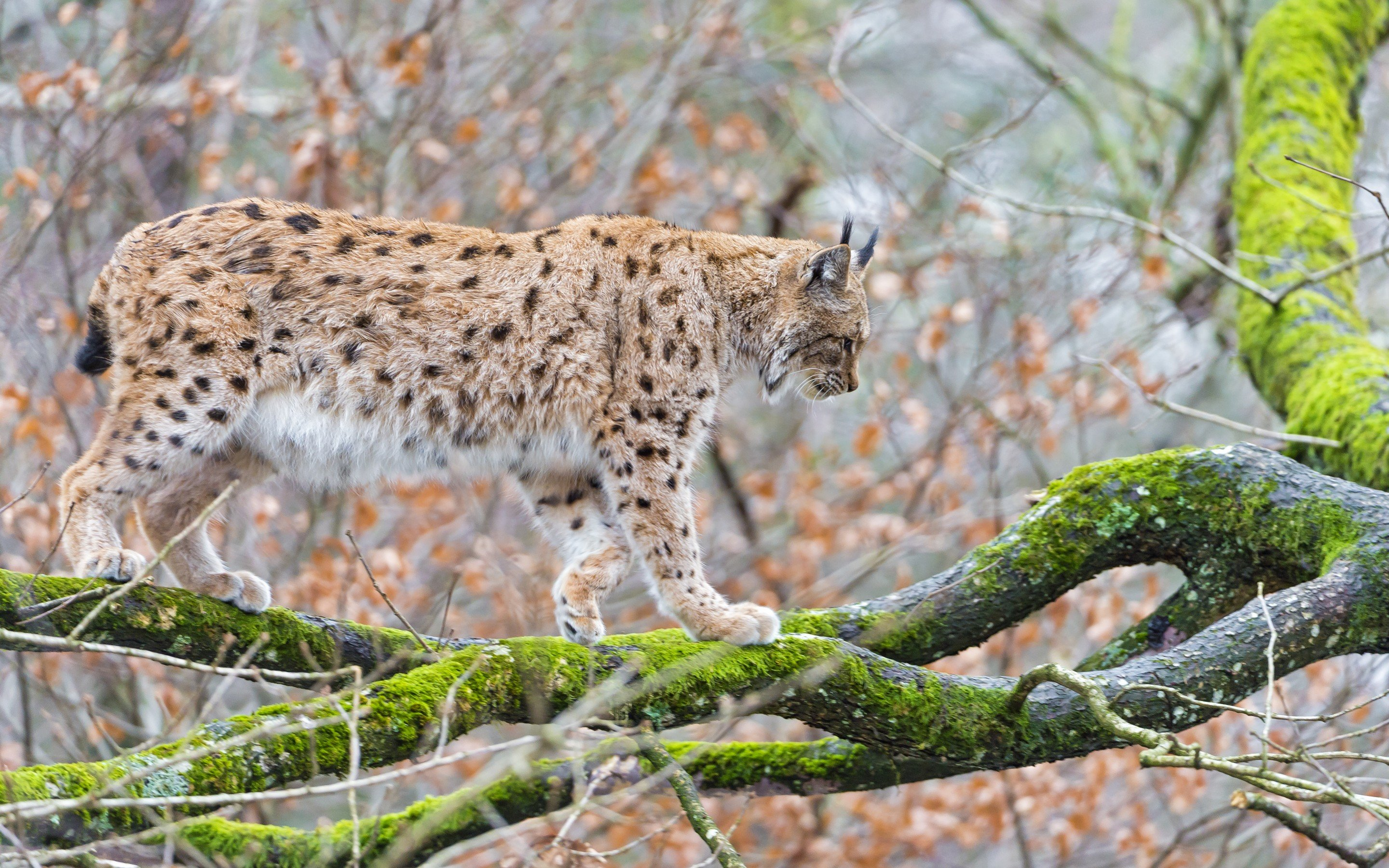 Best Lynx background ID:105696 for High Resolution hd 2880x1800 computer