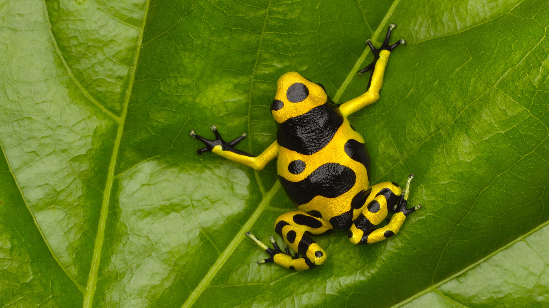 Free Poison Dart Frog high quality background ID:253532 for full hd 1920x1080 PC