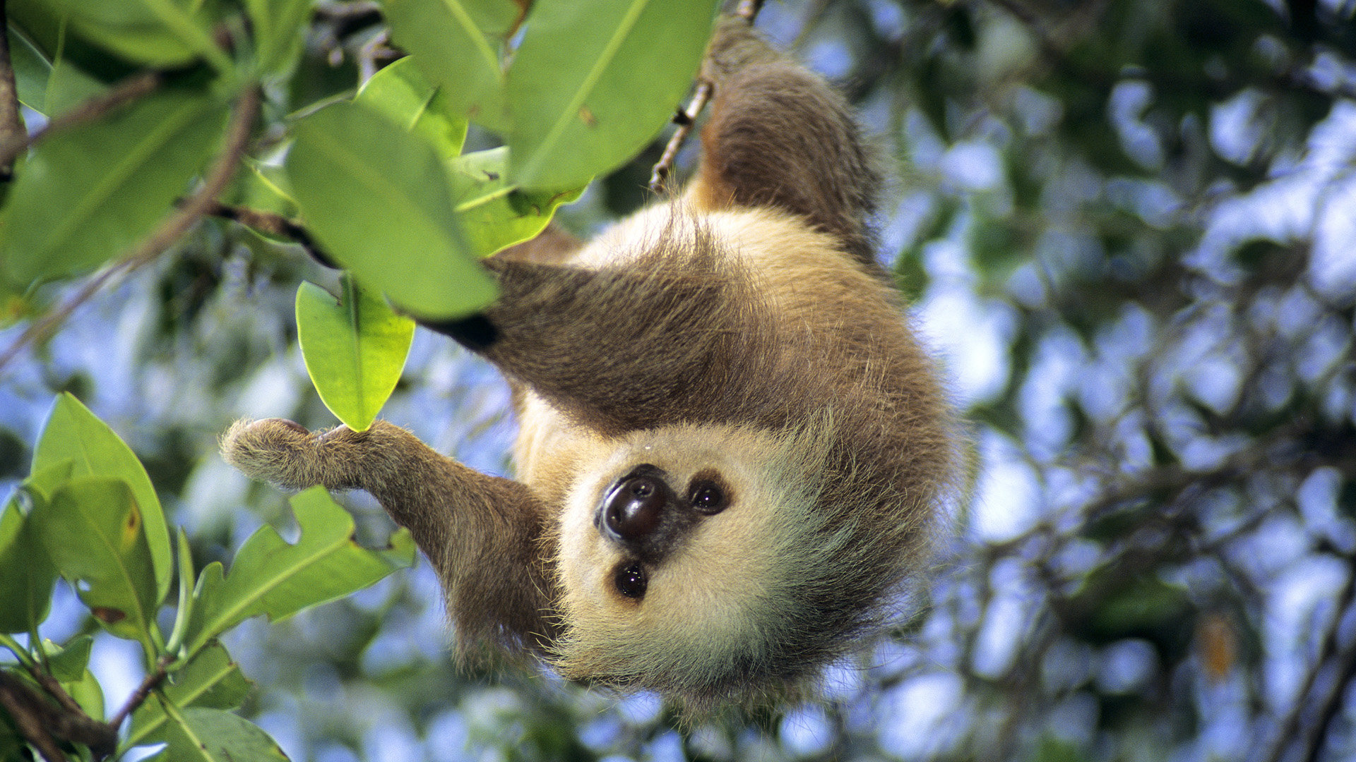 High resolution Sloth hd 1920x1080 wallpaper ID:68367 for desktop