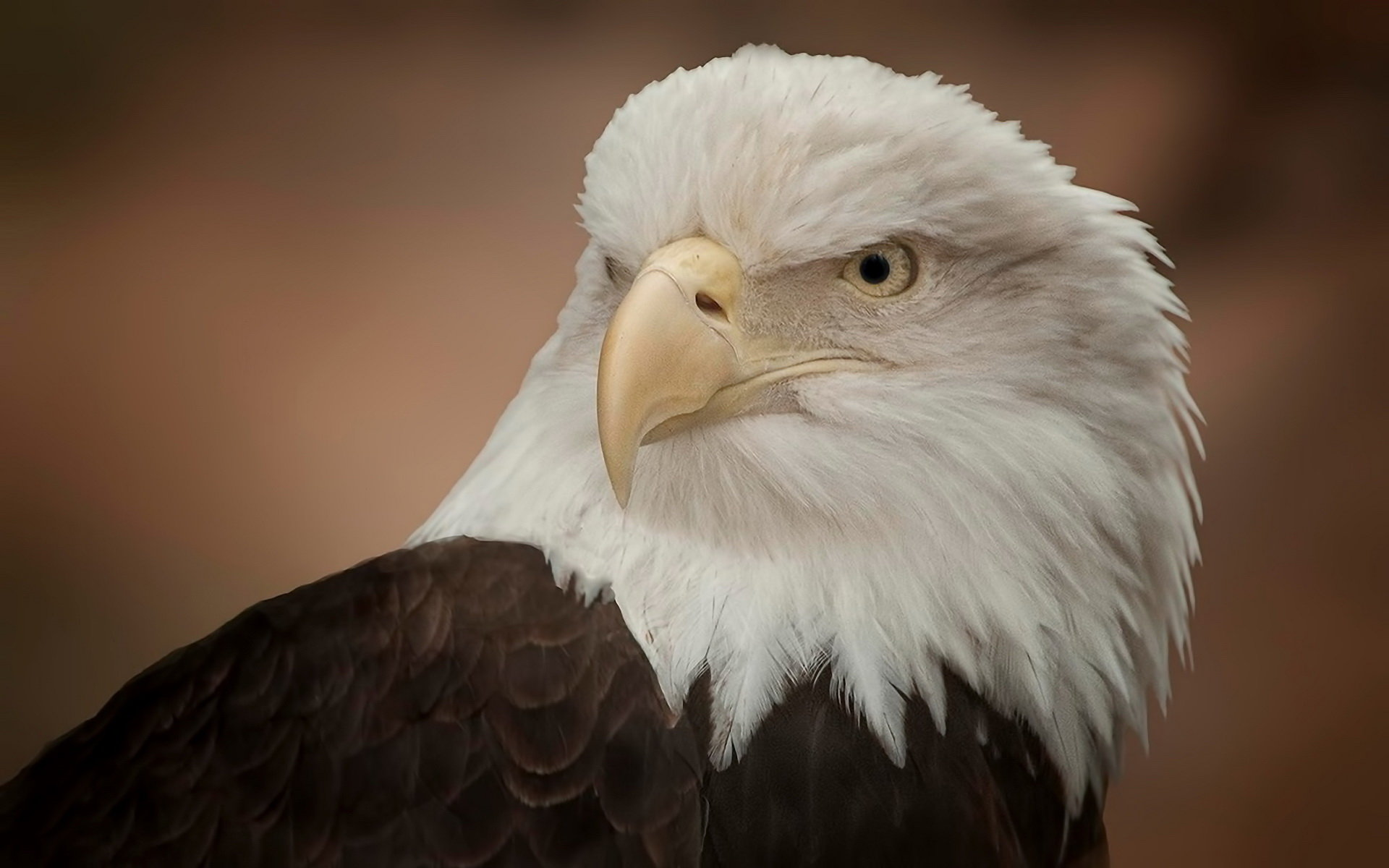 High resolution American Bald Eagle hd 1920x1200 background ID:68786 for PC
