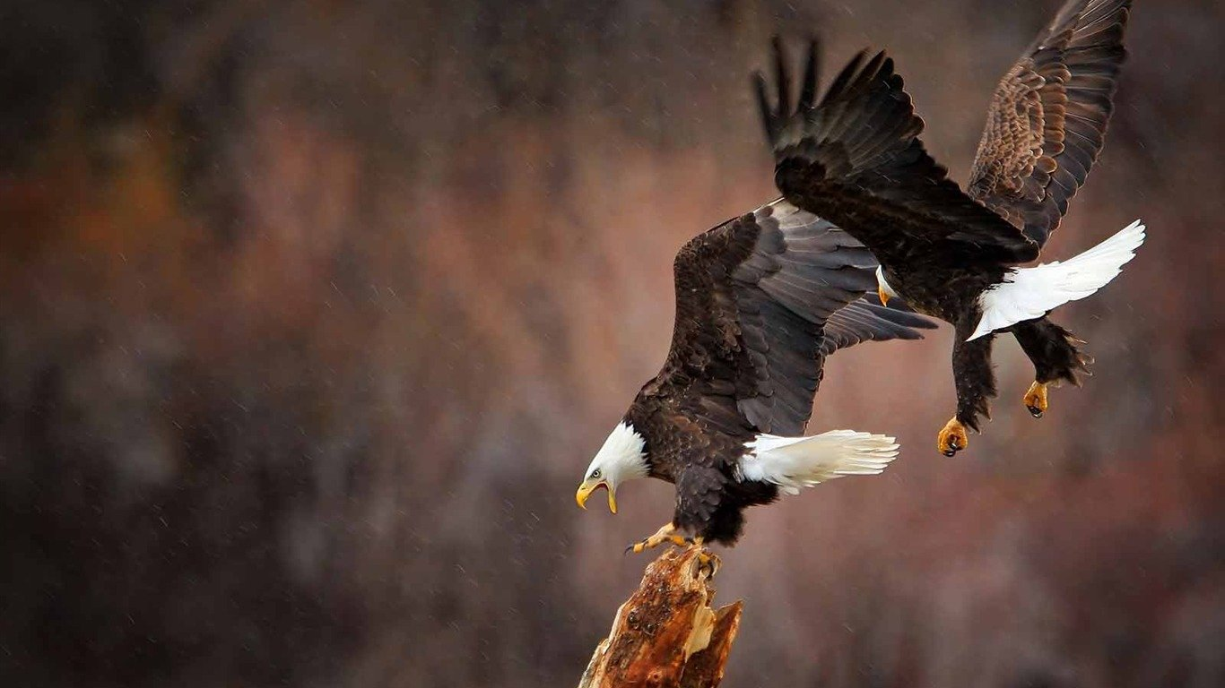 Free American Bald Eagle high quality wallpaper ID:68628 for laptop PC