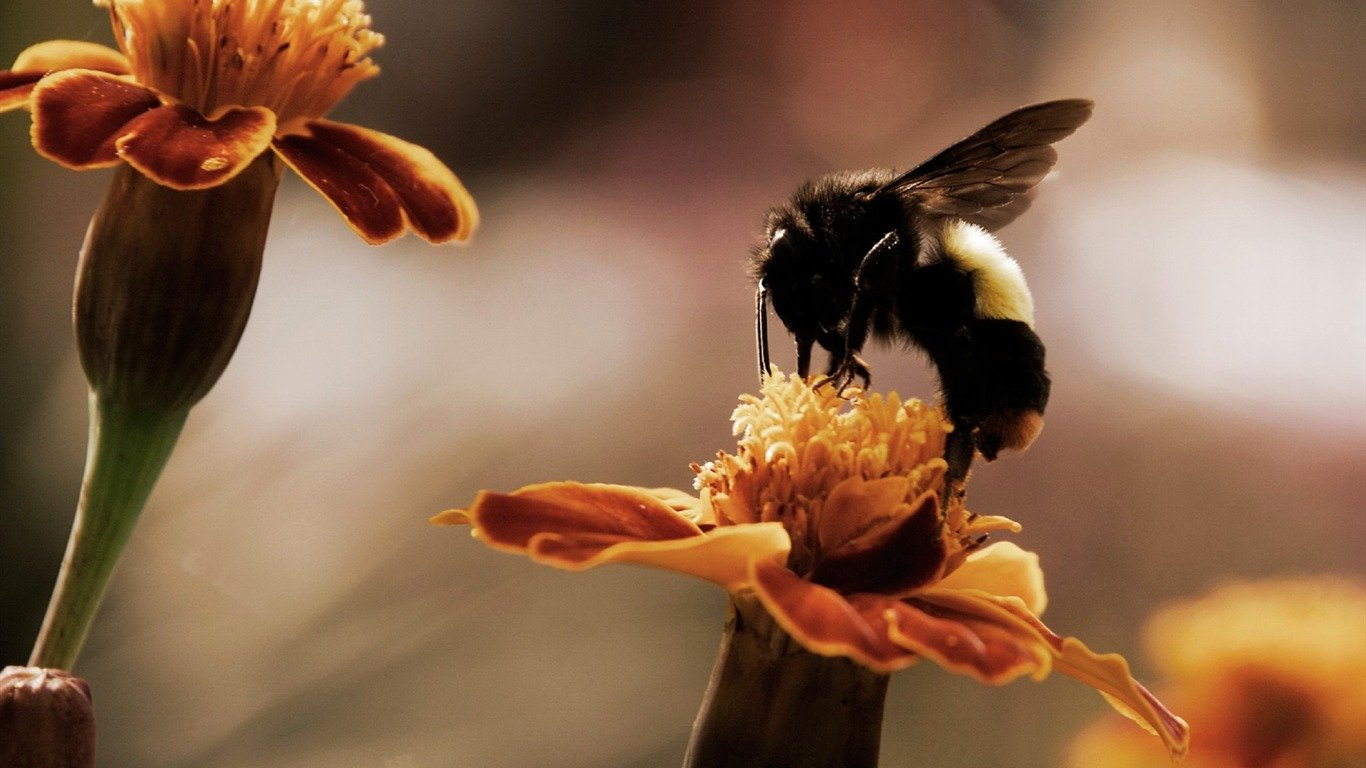 Free Bee high quality background ID:460852 for 1366x768 laptop desktop